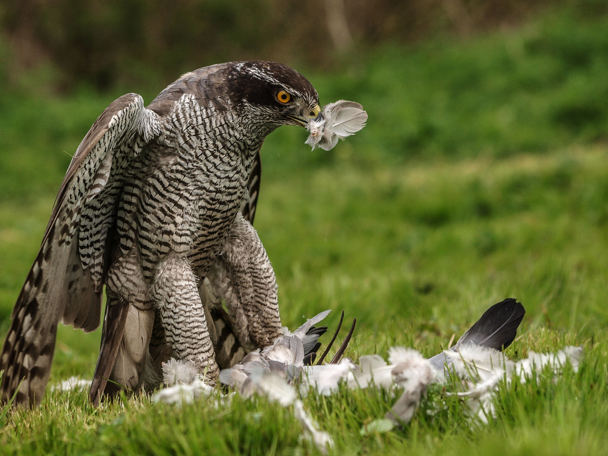 Plucking feathers by garry-chisholm1