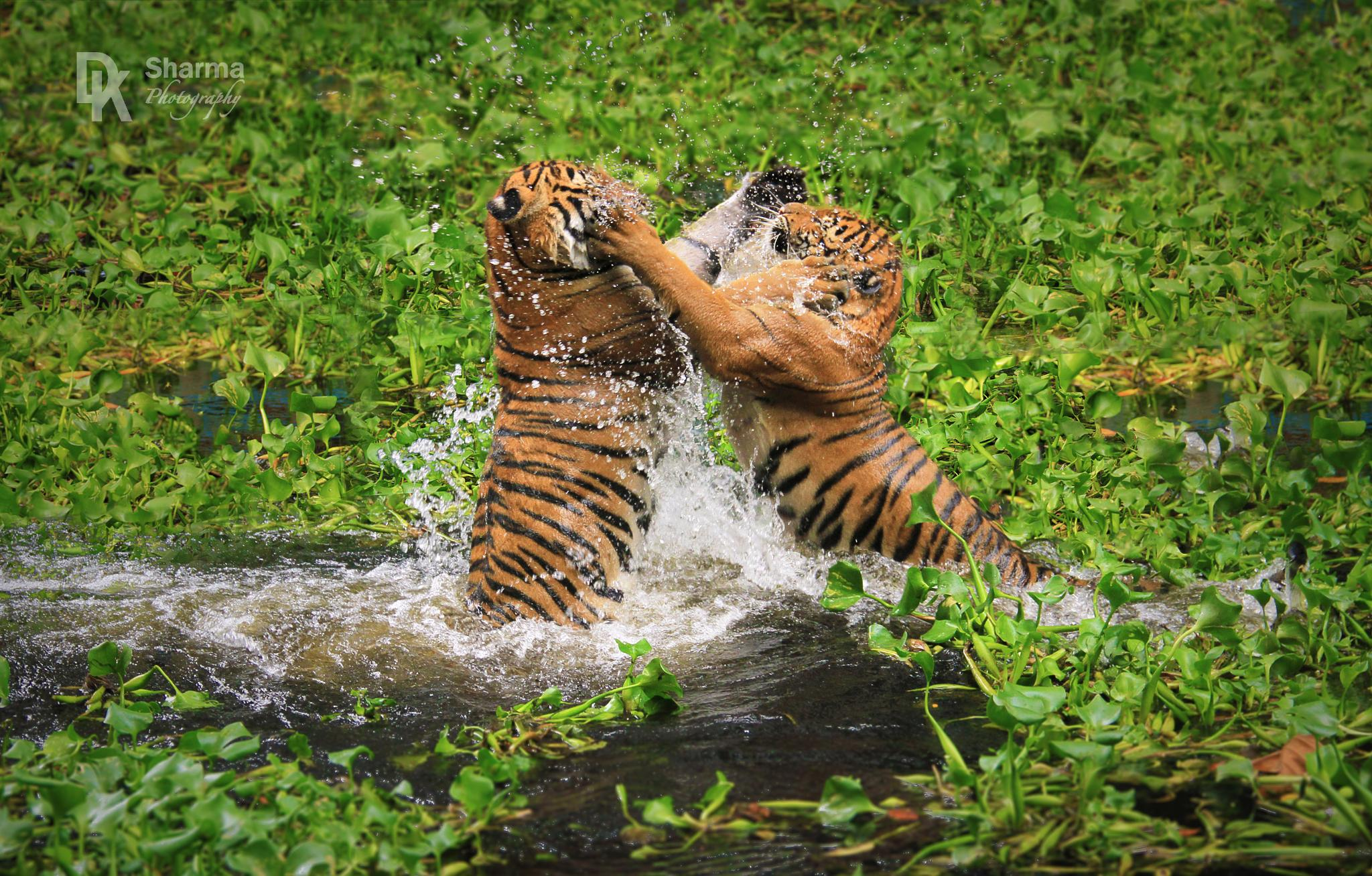 Friendly sibling fight (Malay Tiger) by DK Sharma Photography