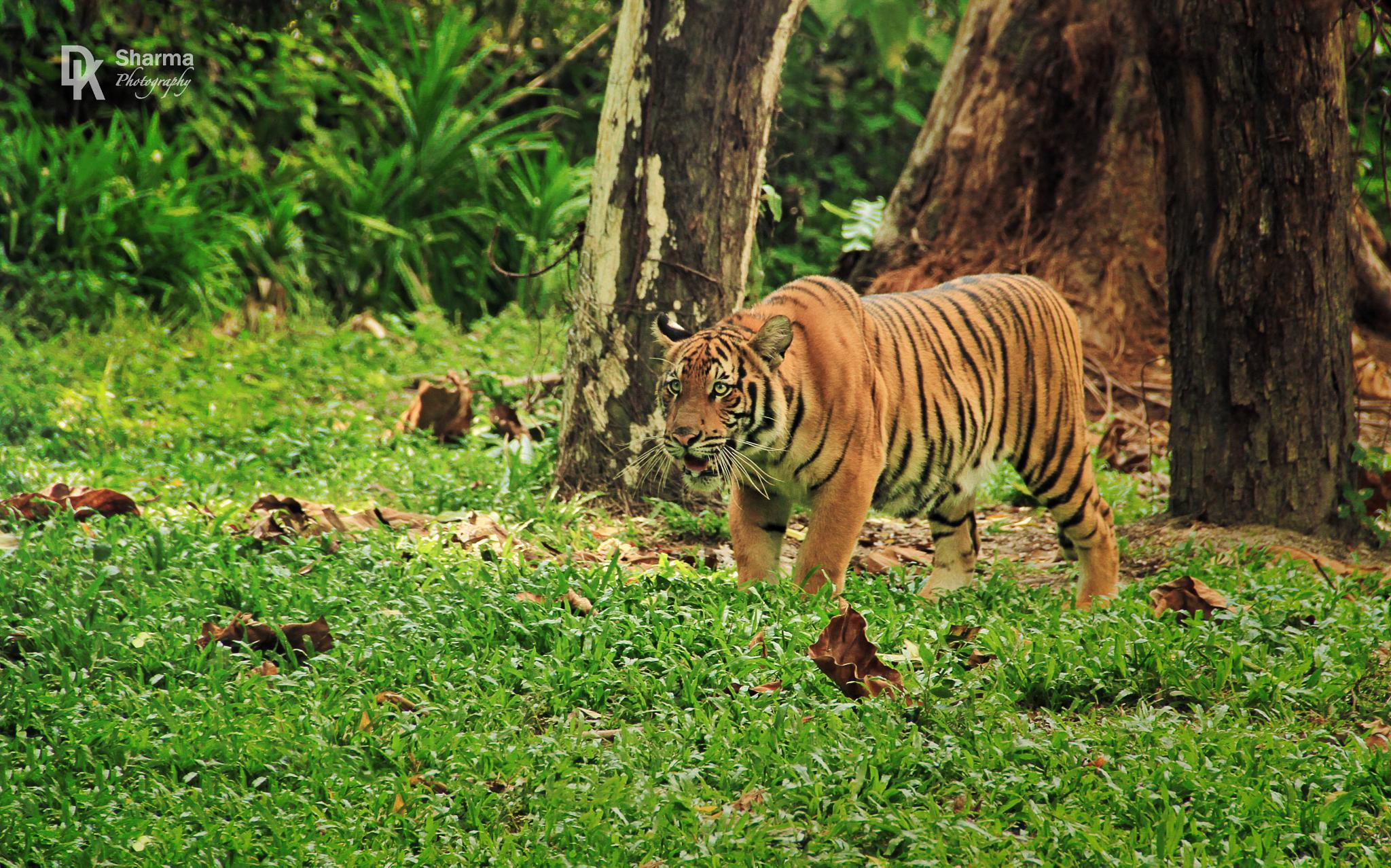 Photo in Animal #animal #carnivore #predetor #wild animal #big cat #wild life #nature #tiger #malay tiger #hunt