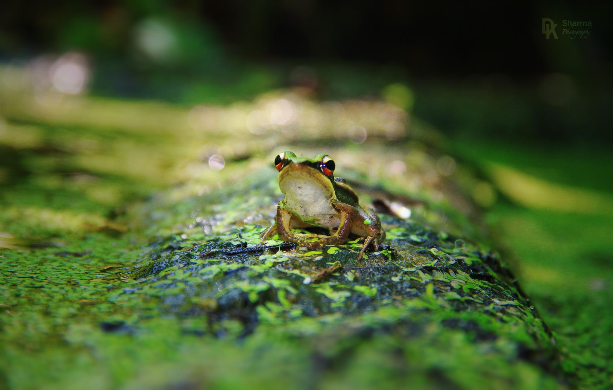 Photo in Animal #green paddy frog #frog #reptile #amphibian #animal #wild life #nature #ambiance