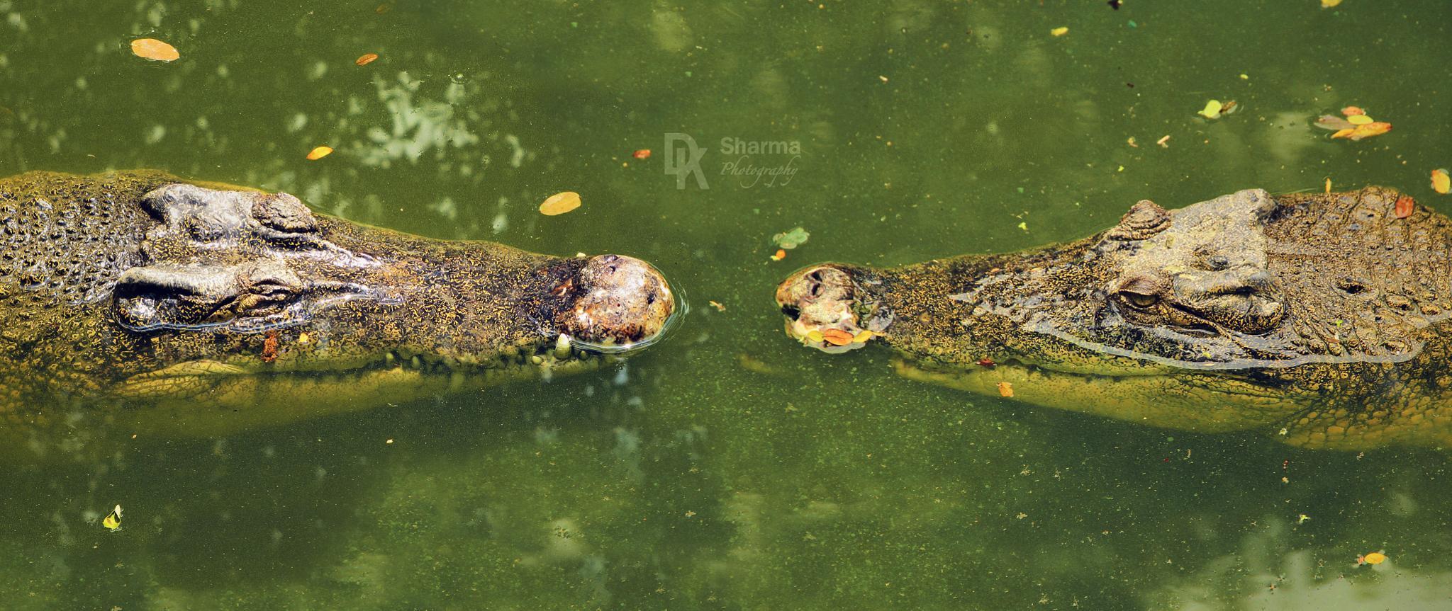 Animal Face-off (Croc vs Croc) by DK Sharma Photography