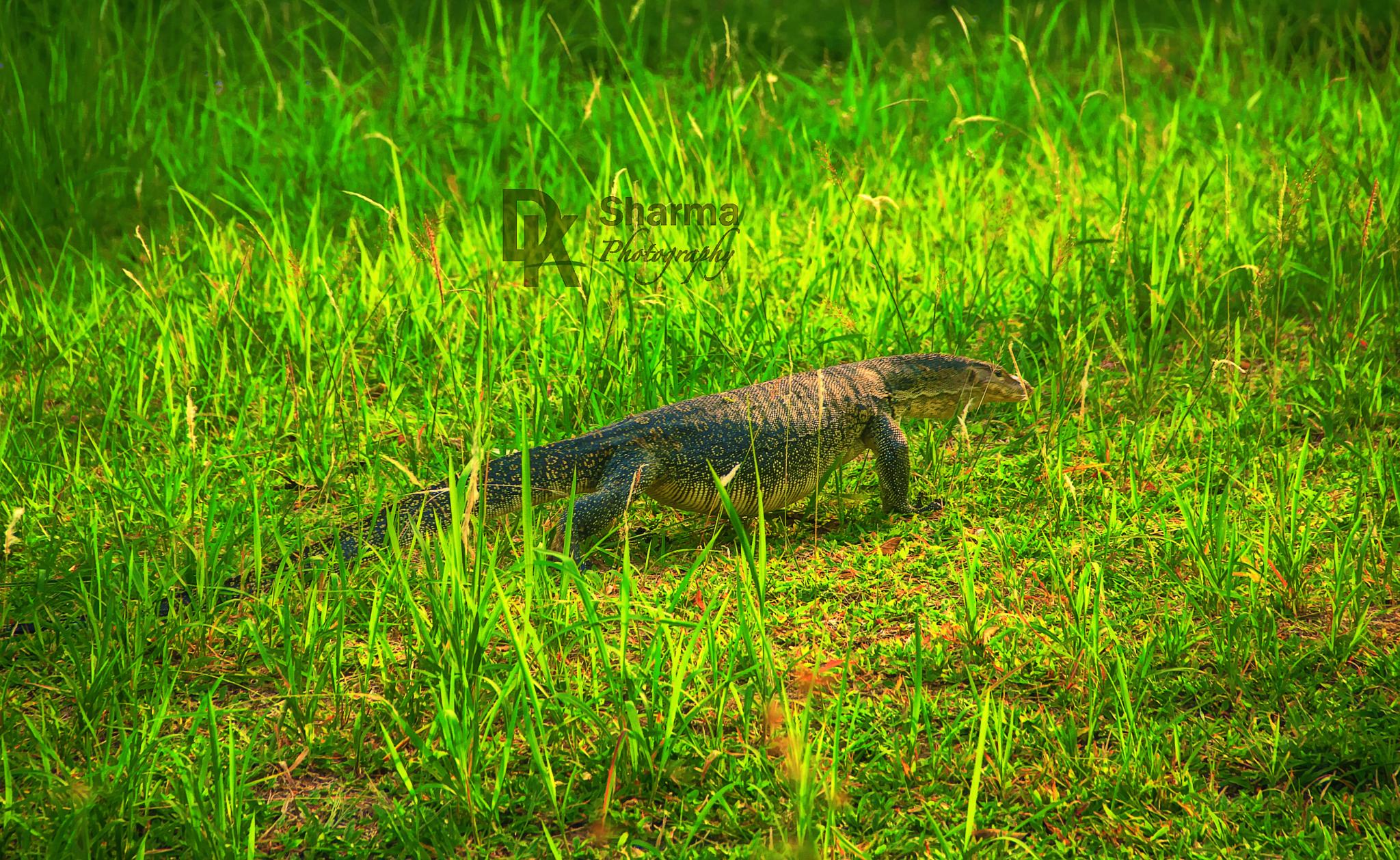 Water monitor after full belly meal by DK Sharma Photography