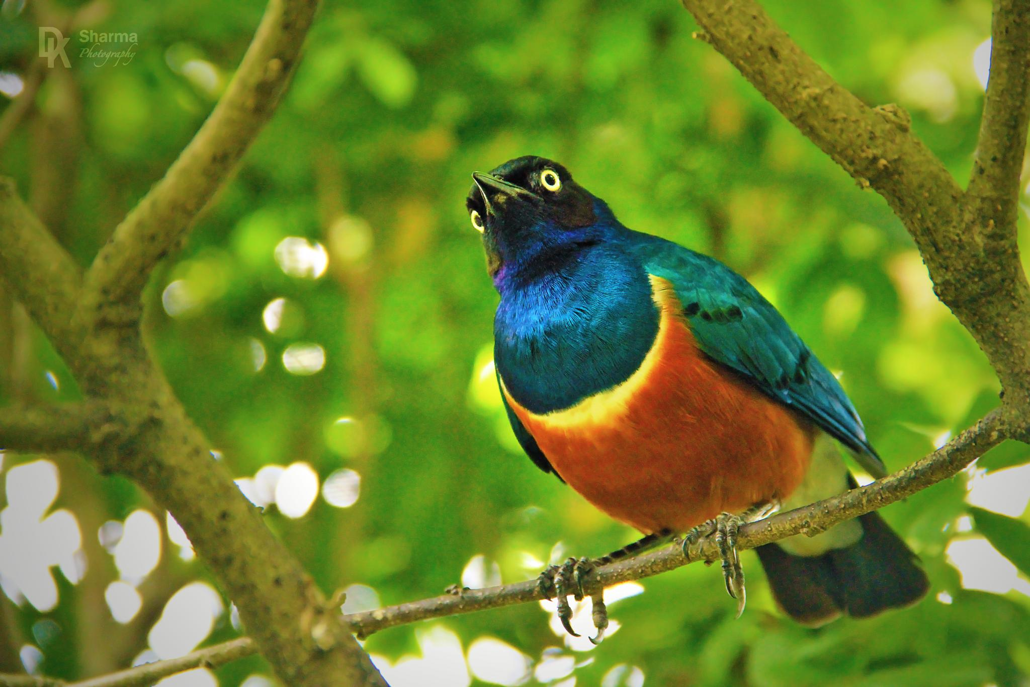 Superb Starling by DK Sharma Photography