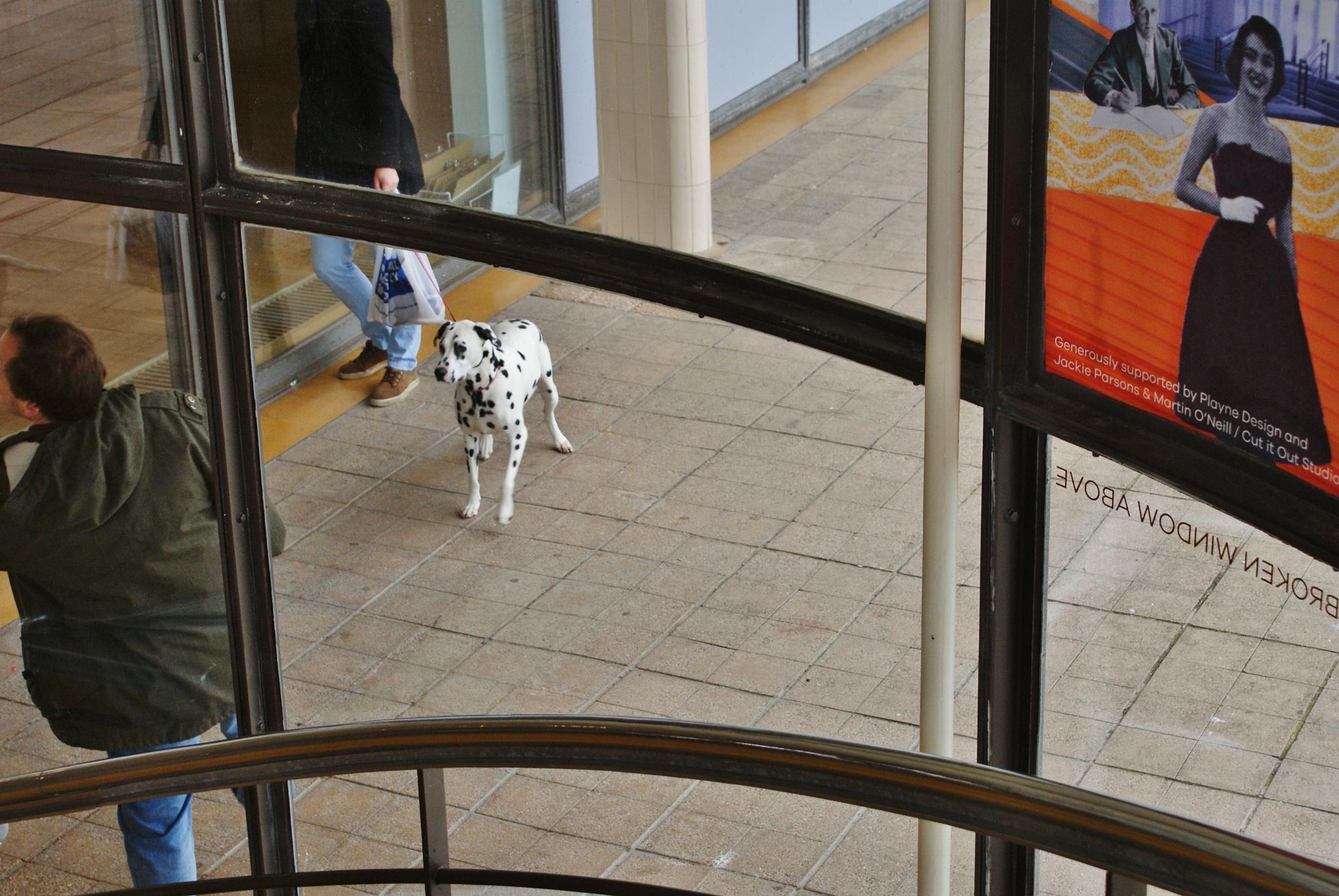 Dalmatian Window by DenisJosephDalby
