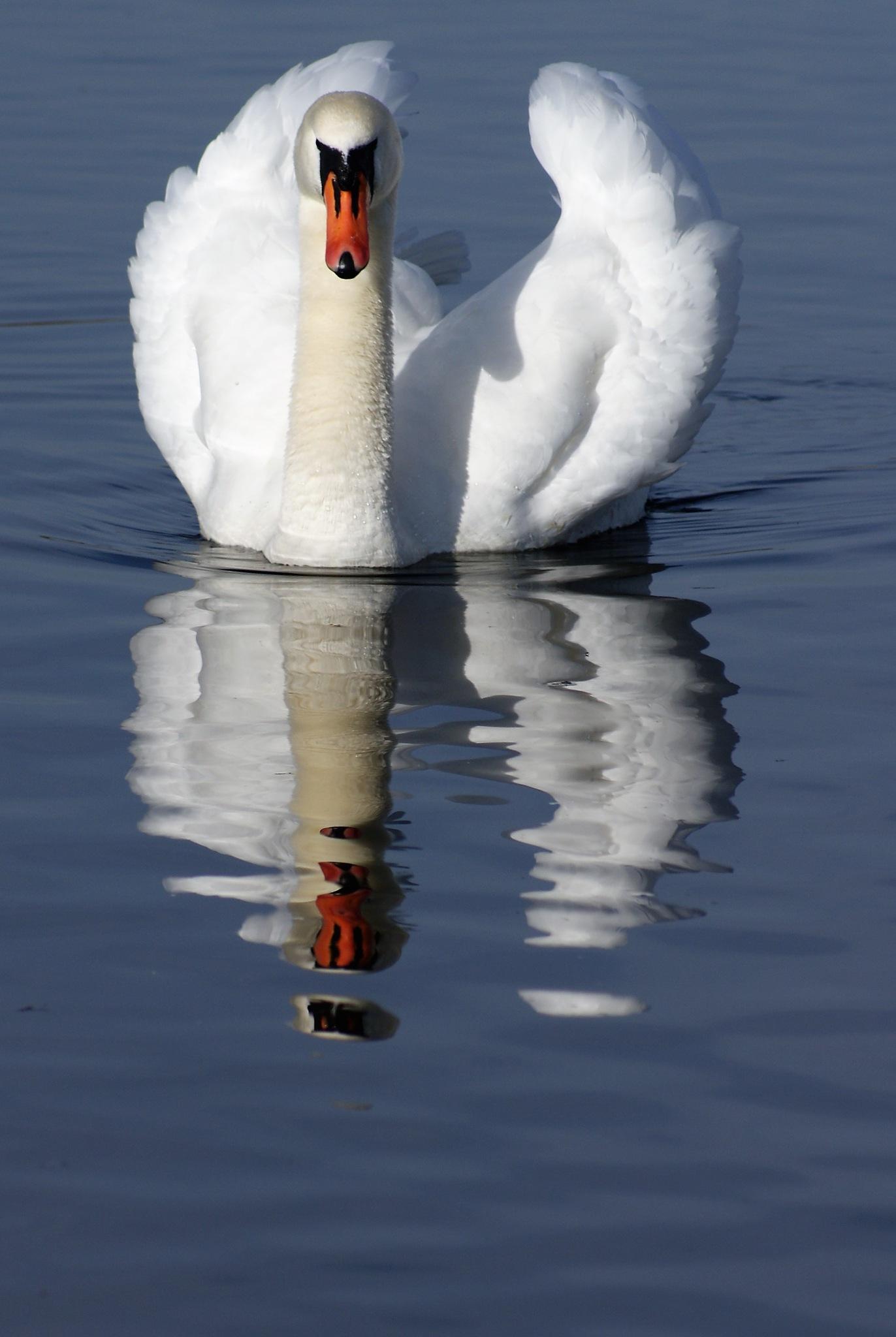 Swan Lake by DenisJosephDalby