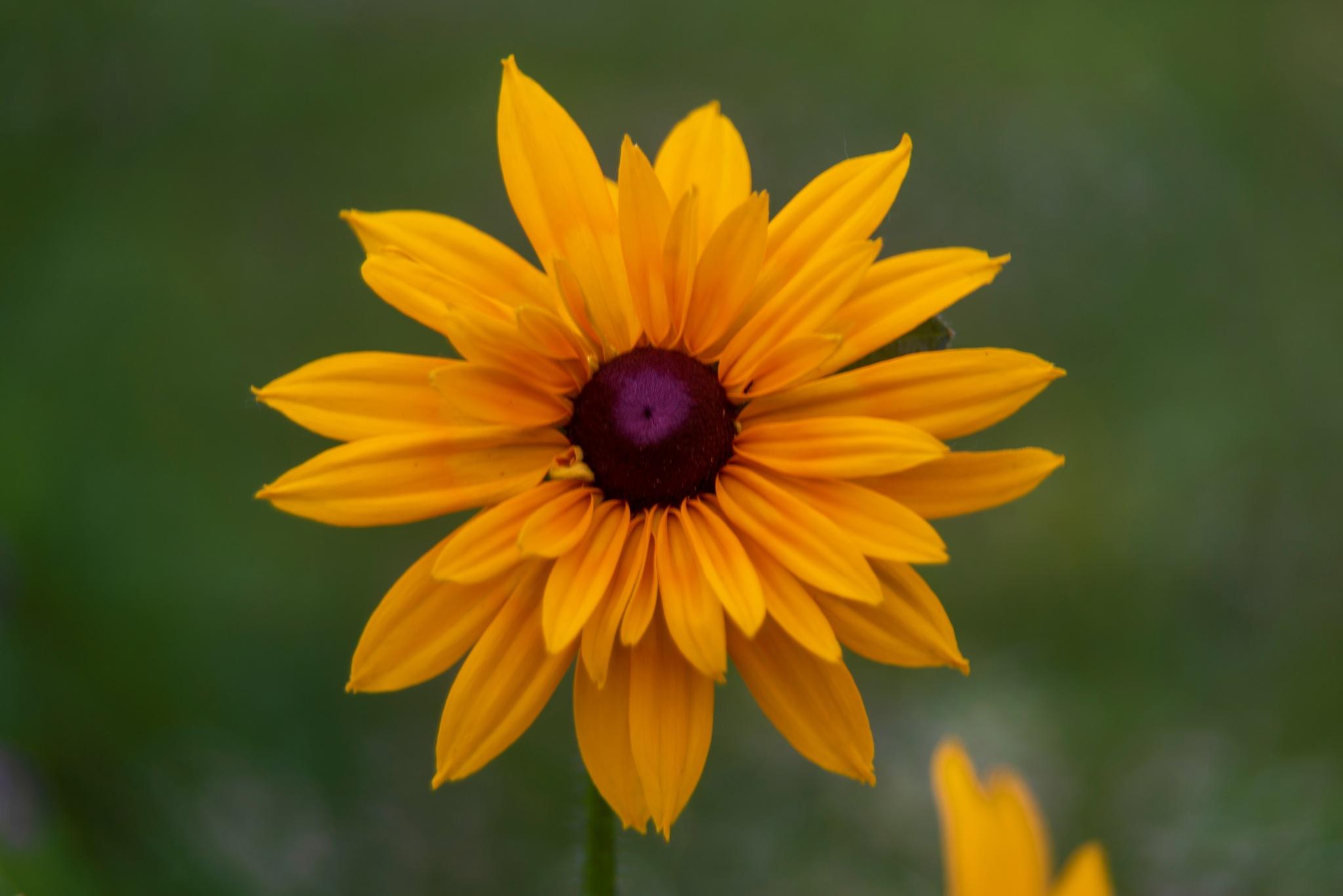 Wild Flower 2 by Sridhar R Setty