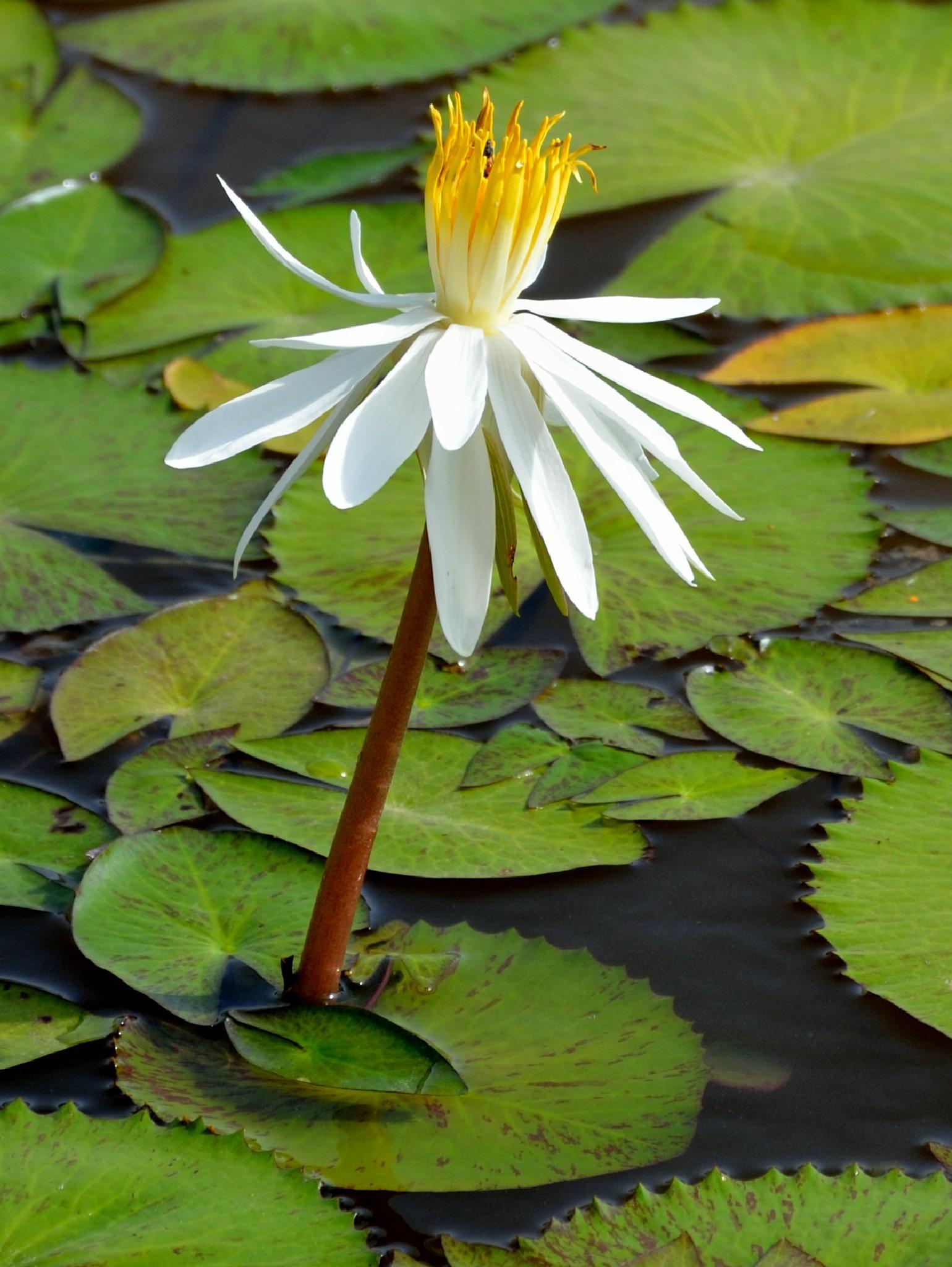 White lotus 2 by Sridhar R Setty