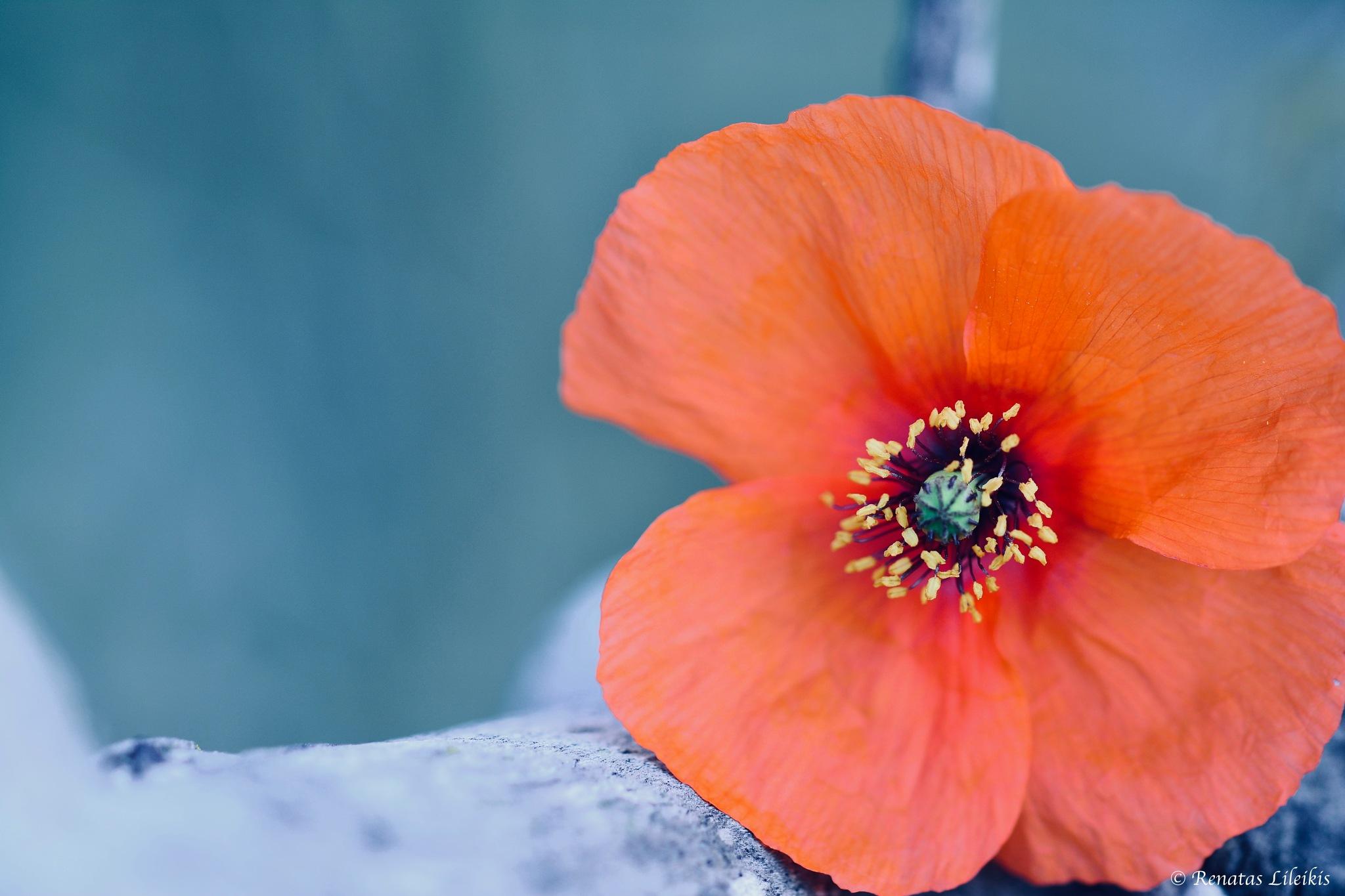 Poppy by Renatas Lileikis