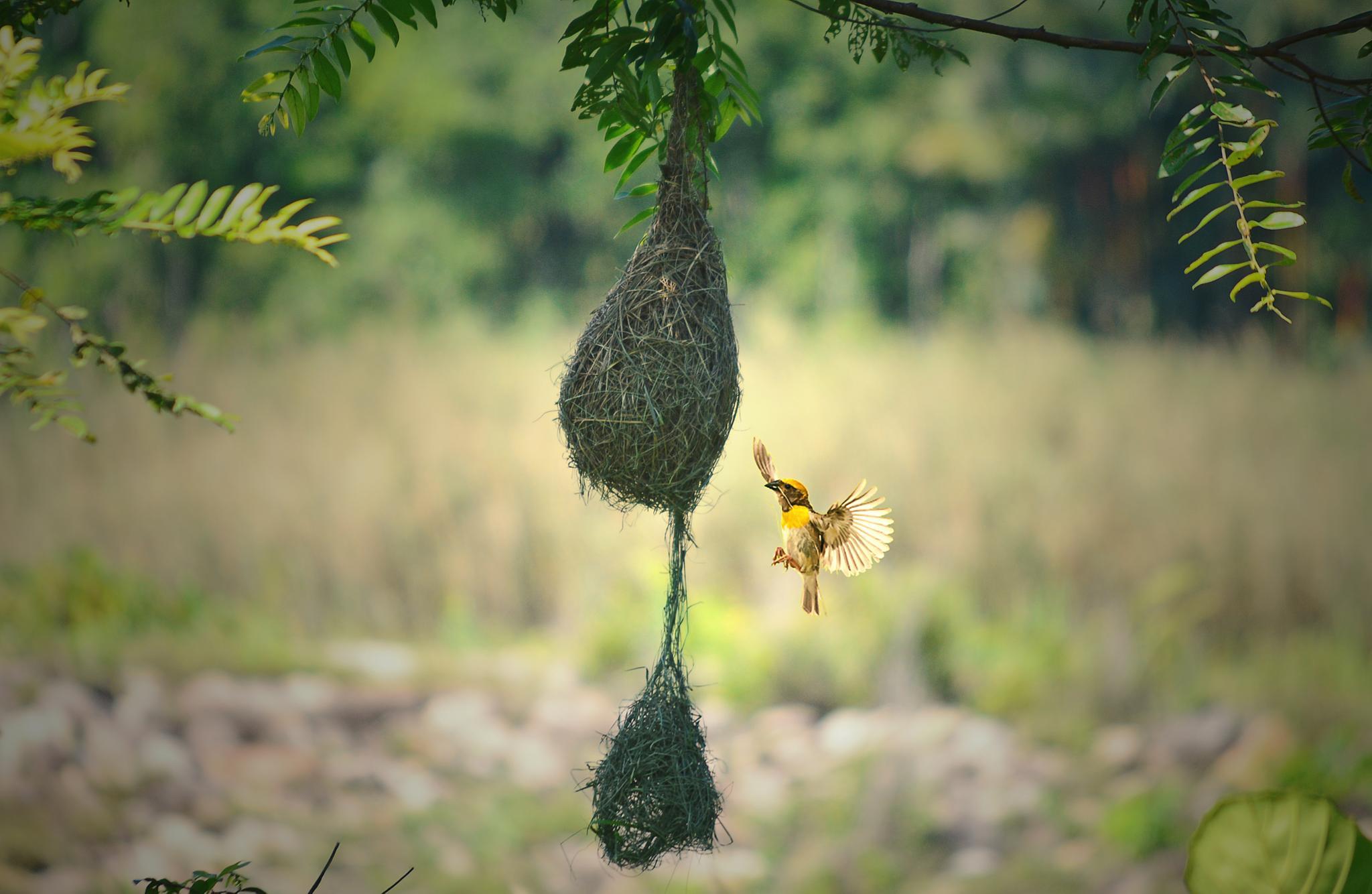 Building nest by Anupam Hore