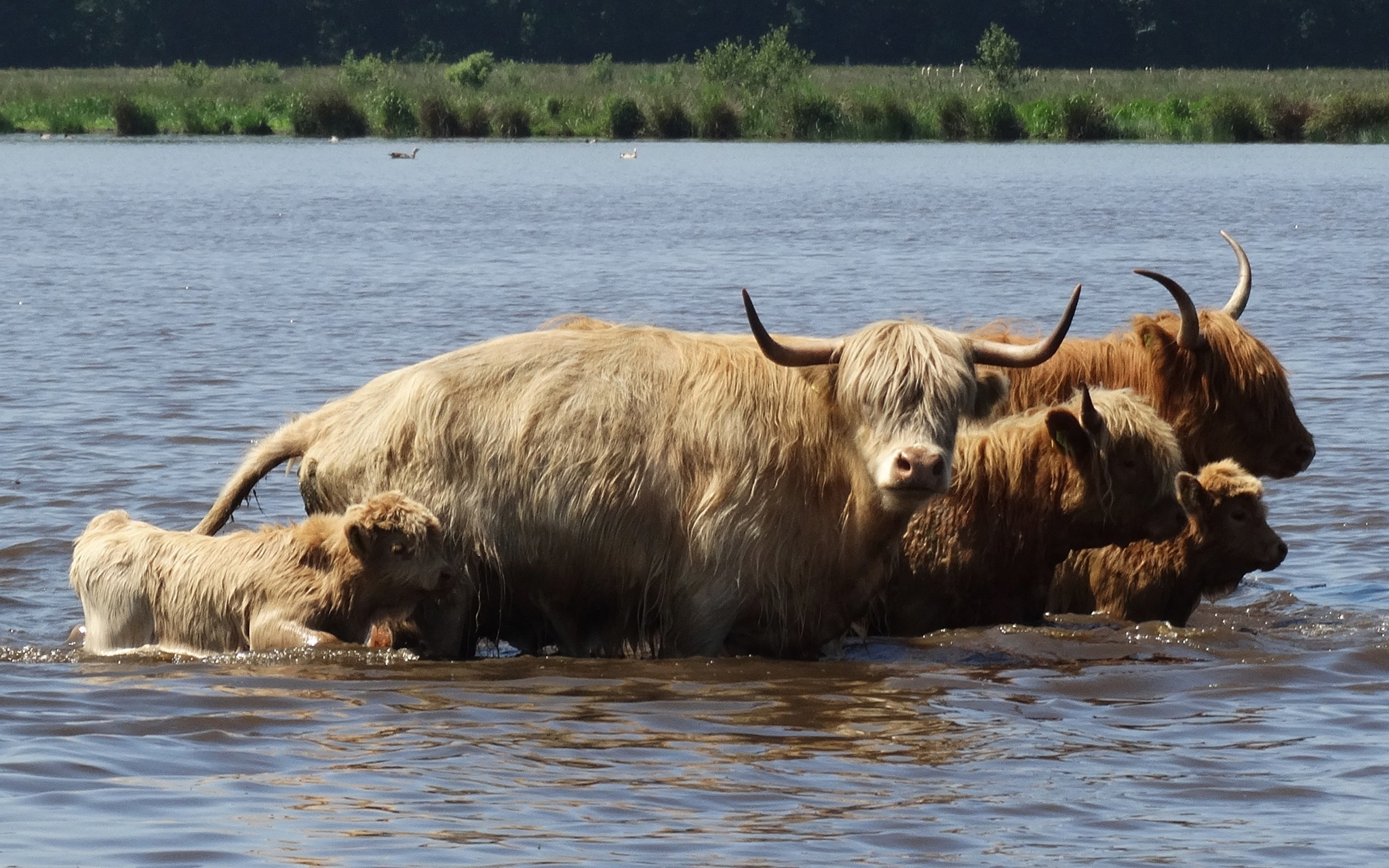 Highlander with calfs in the lake!  by GertdeVos
