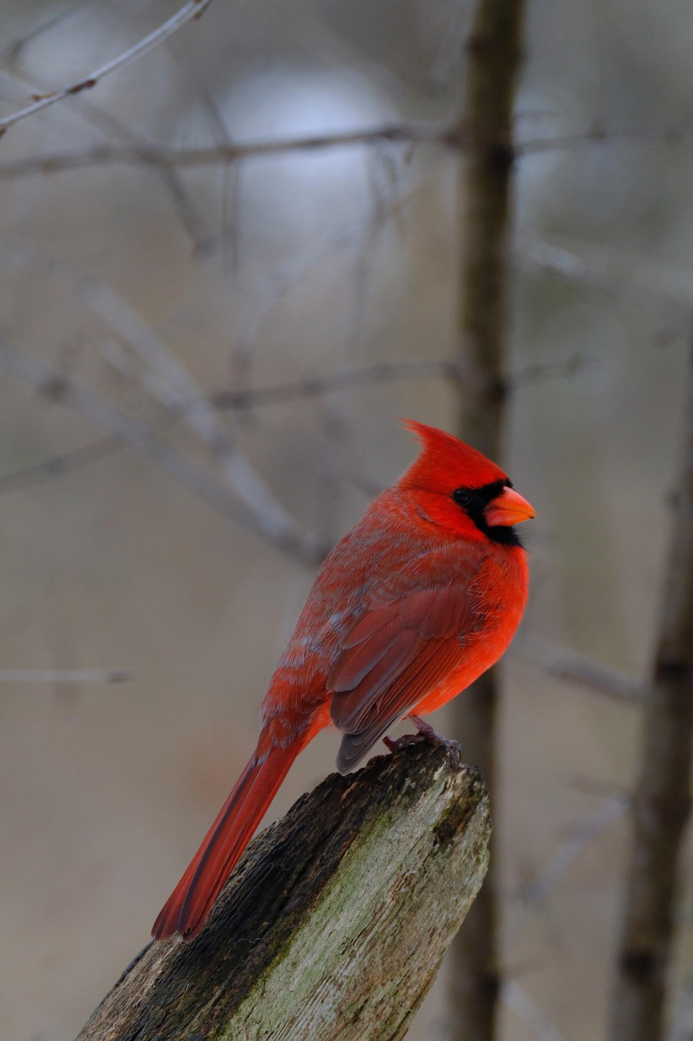 Photo in Animal #cardinal #bird #winter