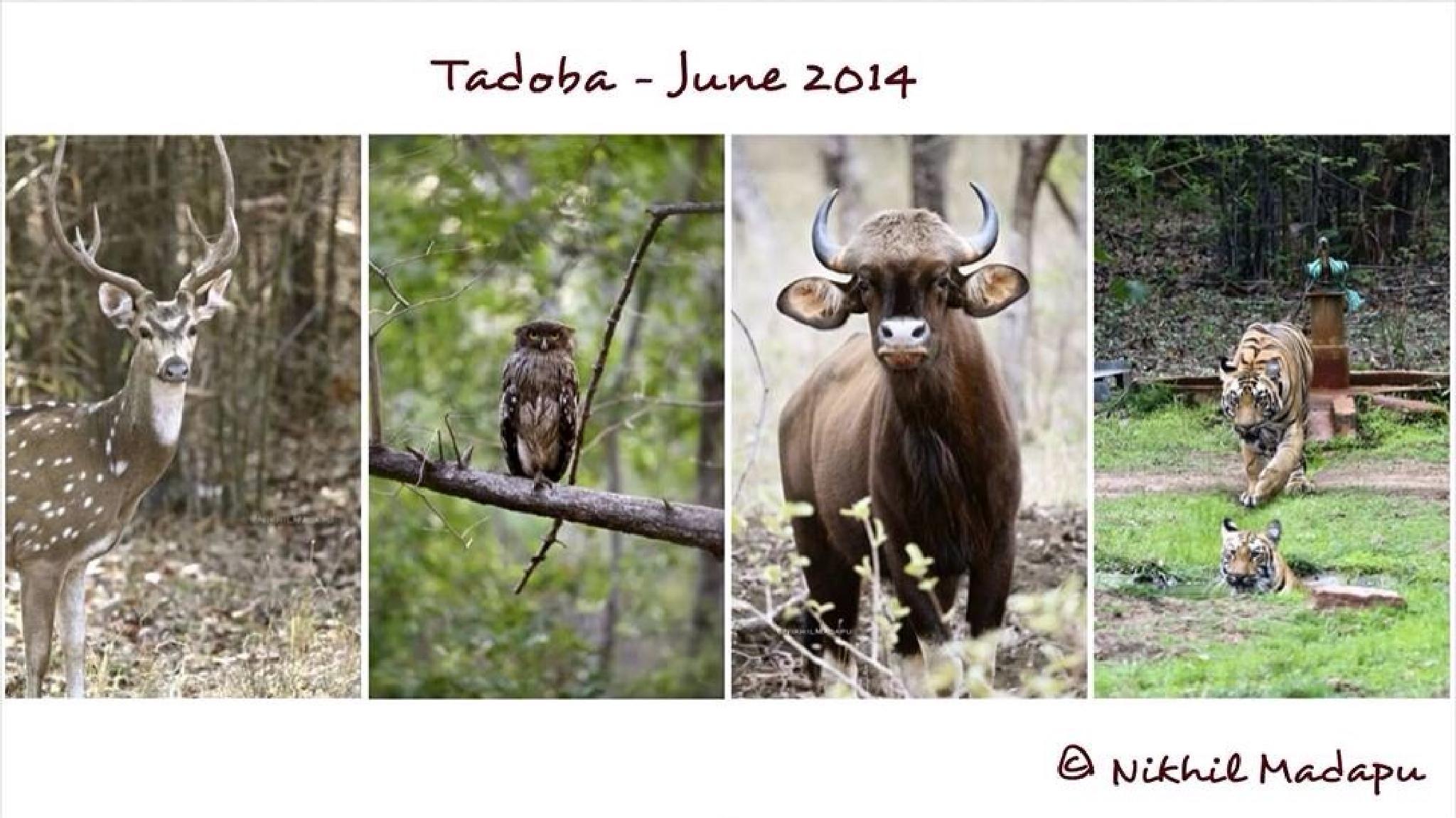 Tadoba June 2014 by Nikhil madapu