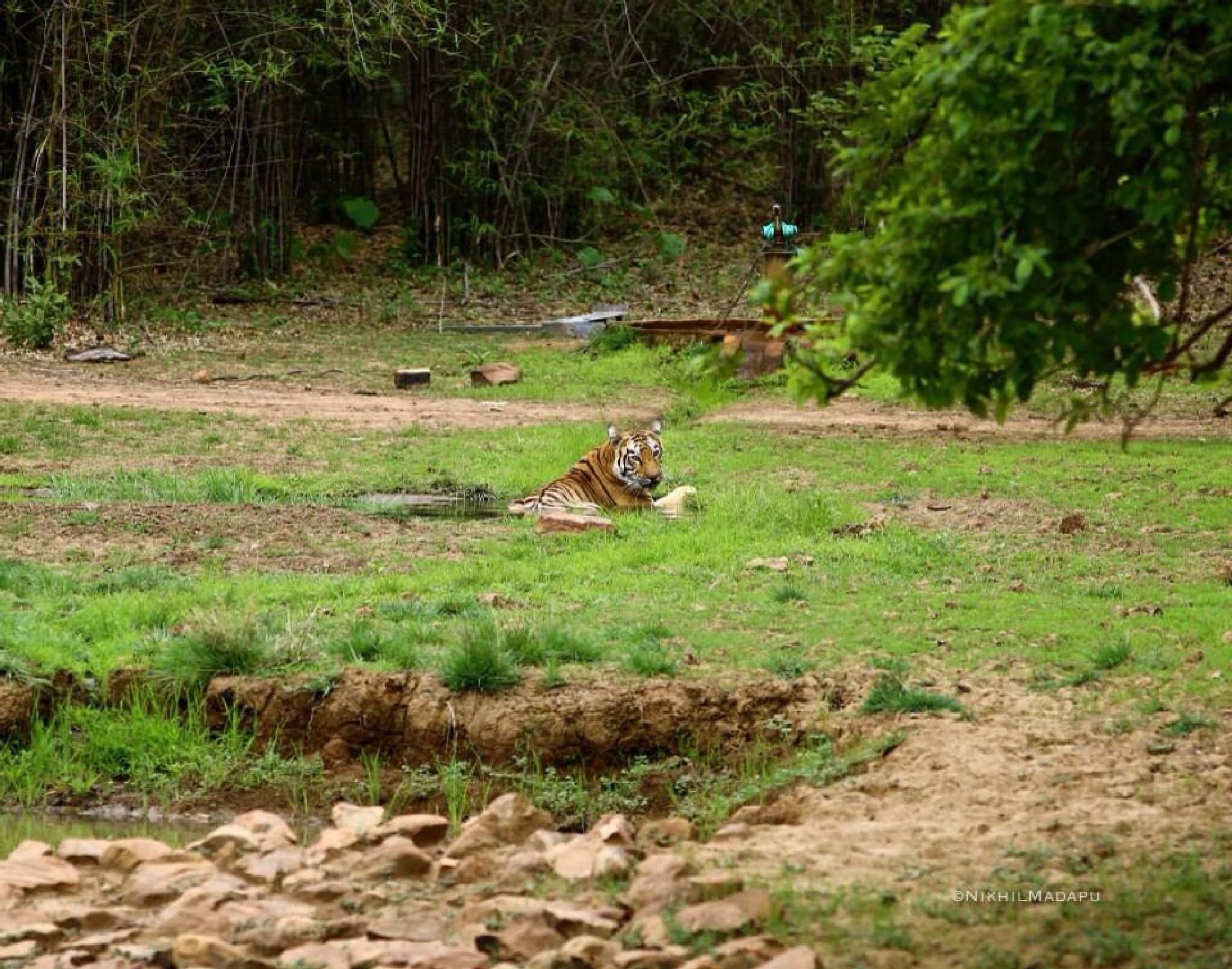 Tigress by Nikhil madapu