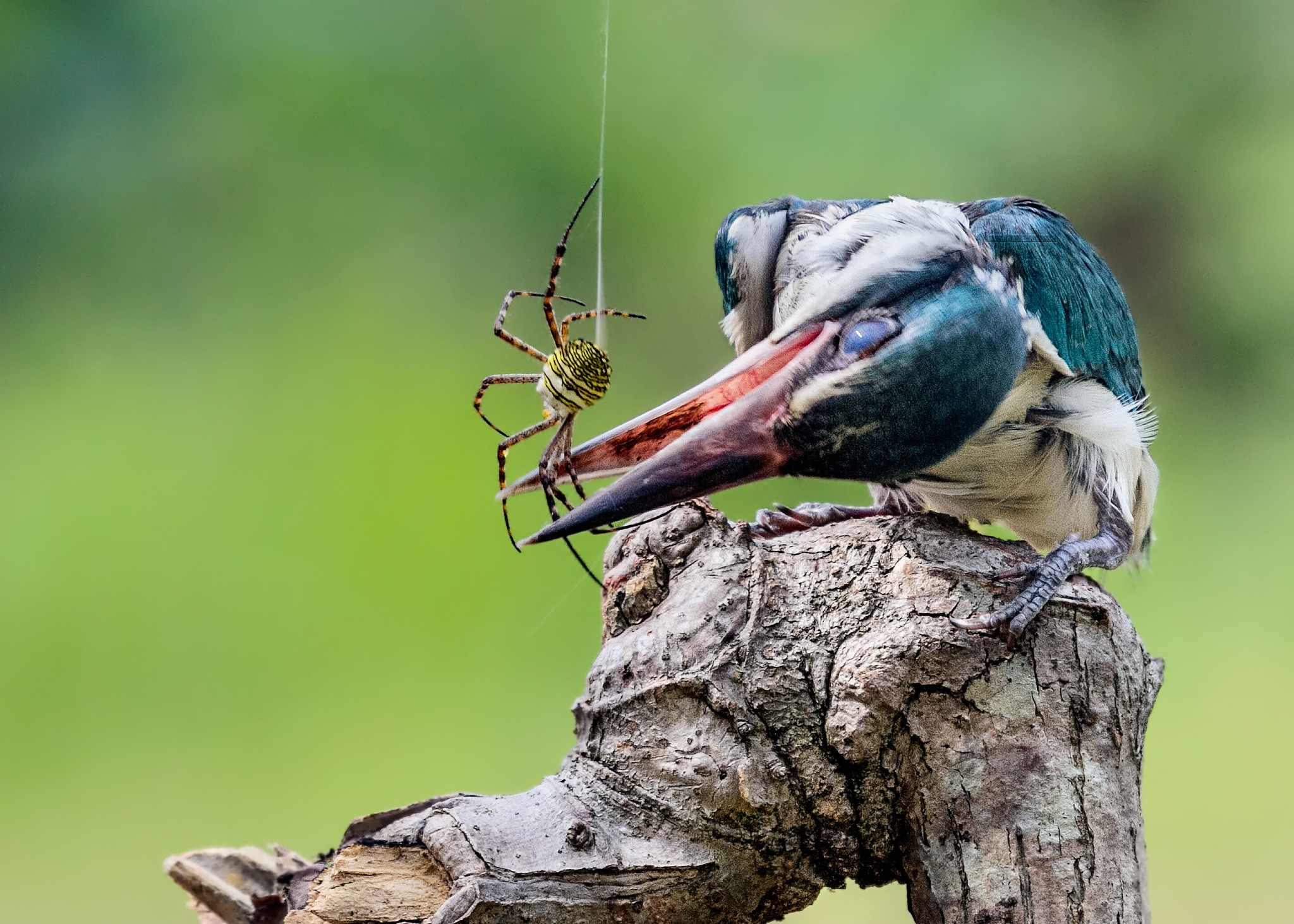 The White-Collared Kingfisher by MazLoy