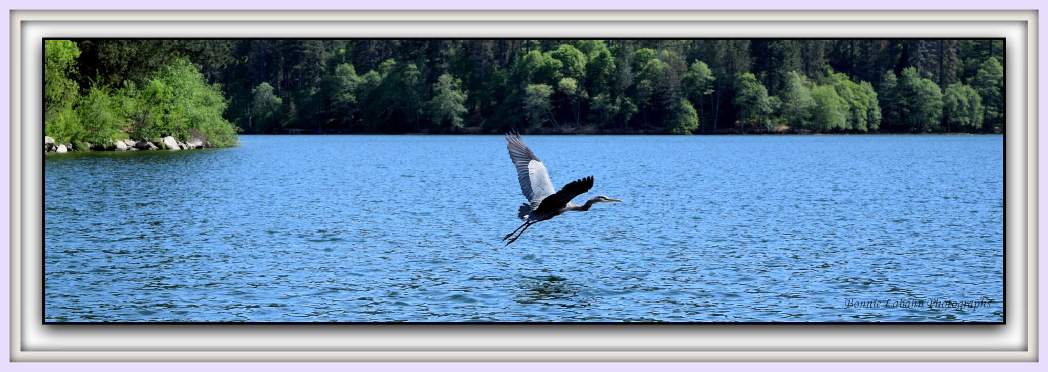 Blue Herron in Flight by Upic1