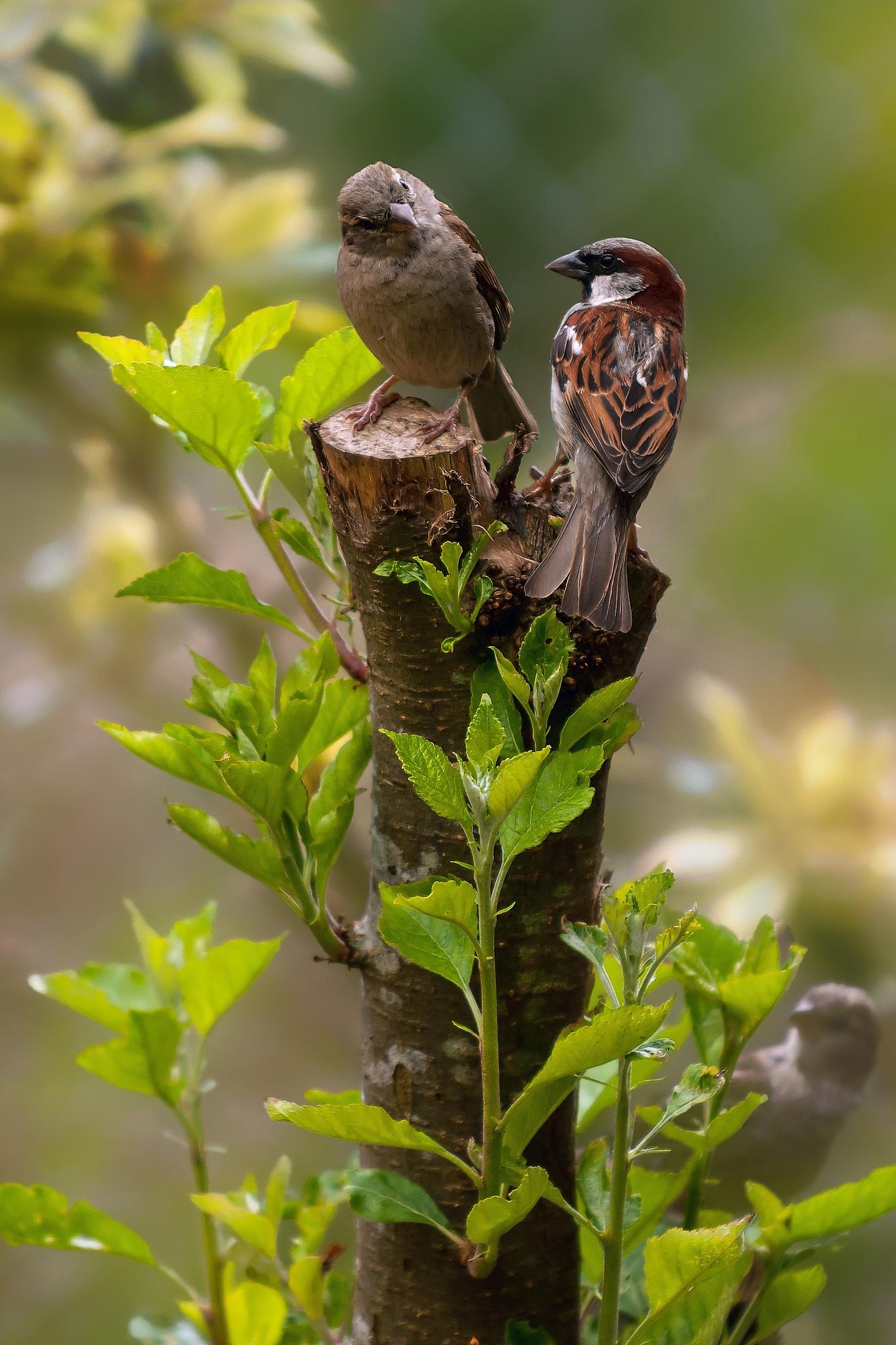 Wee birdies having a chat by scrawcreations  (Stephen)