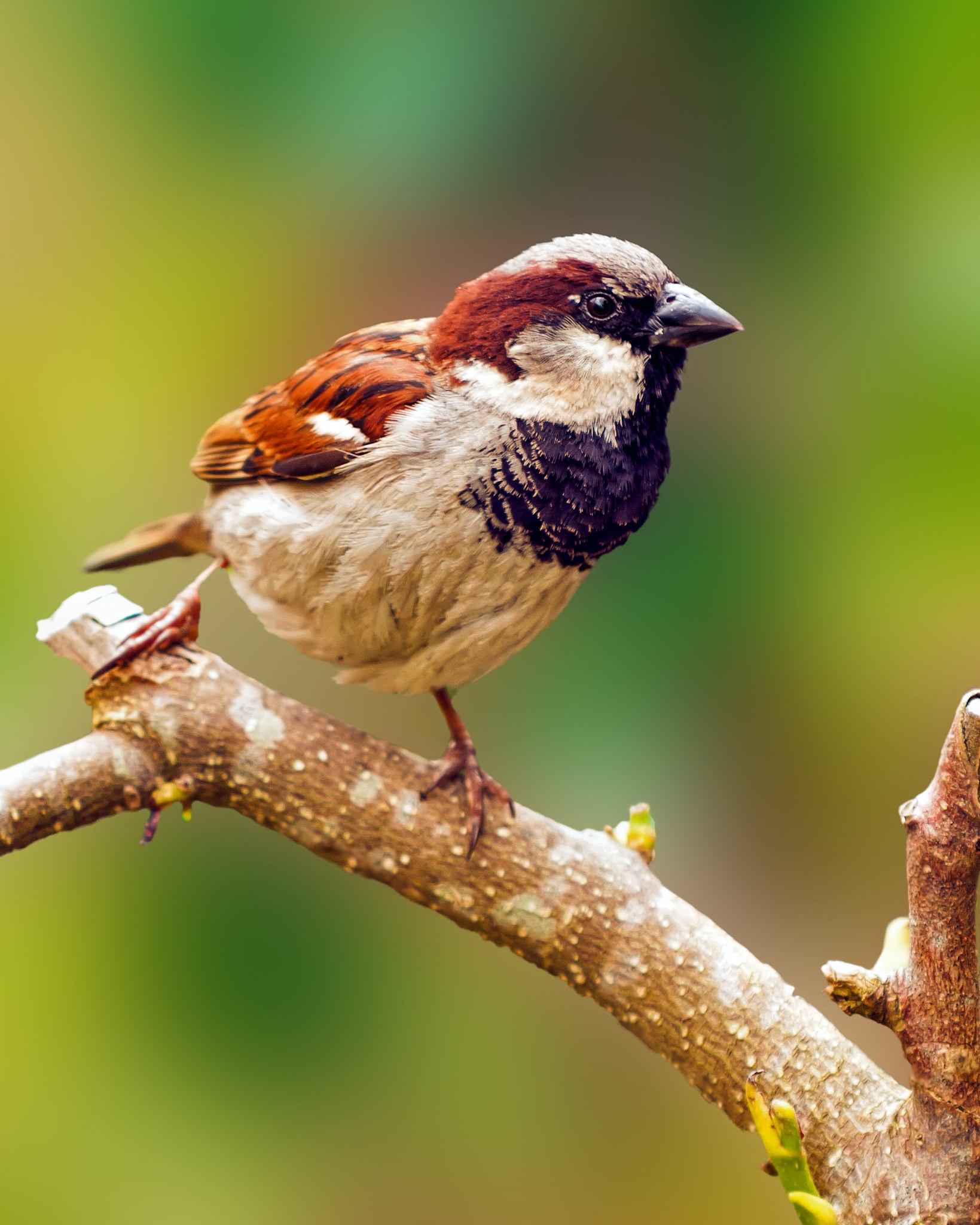 House Sparrow by scrawcreations  (Stephen)
