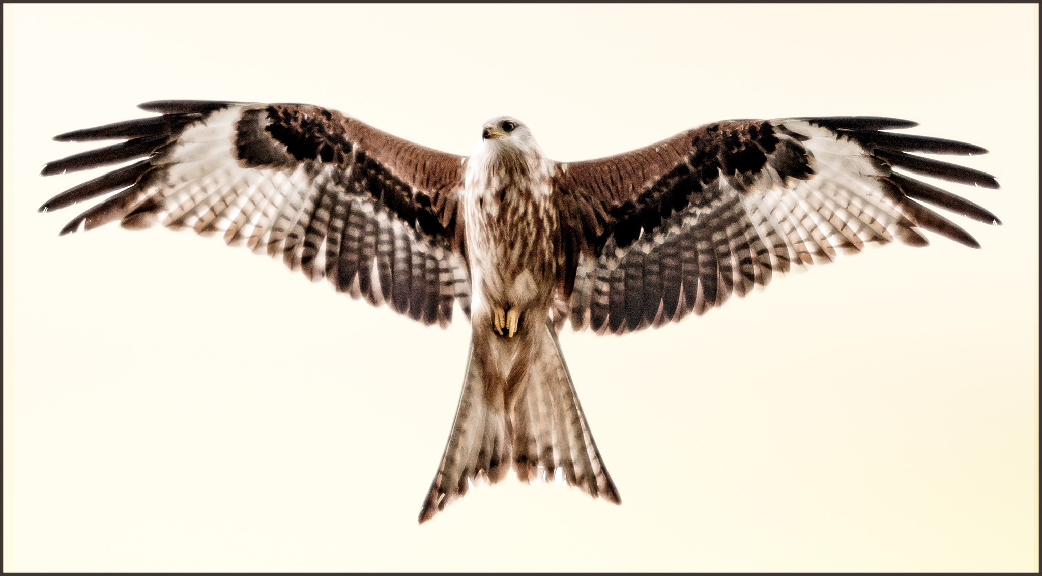 Arty farty Red Kite by scrawcreations  (Stephen)