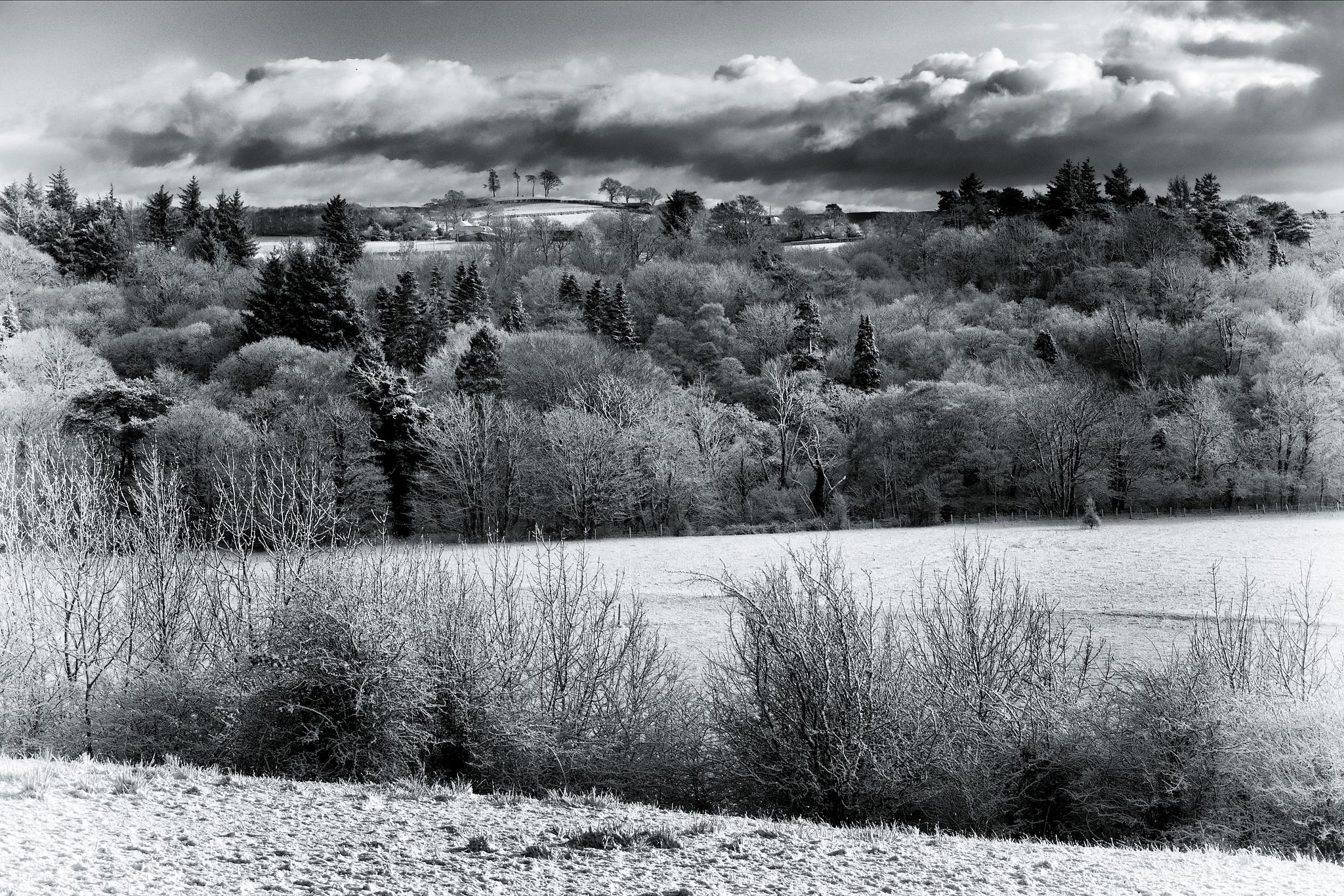 Photo in Black and White #annbank #ayrshire #springs #landscape #winter #snow #ostrich trees