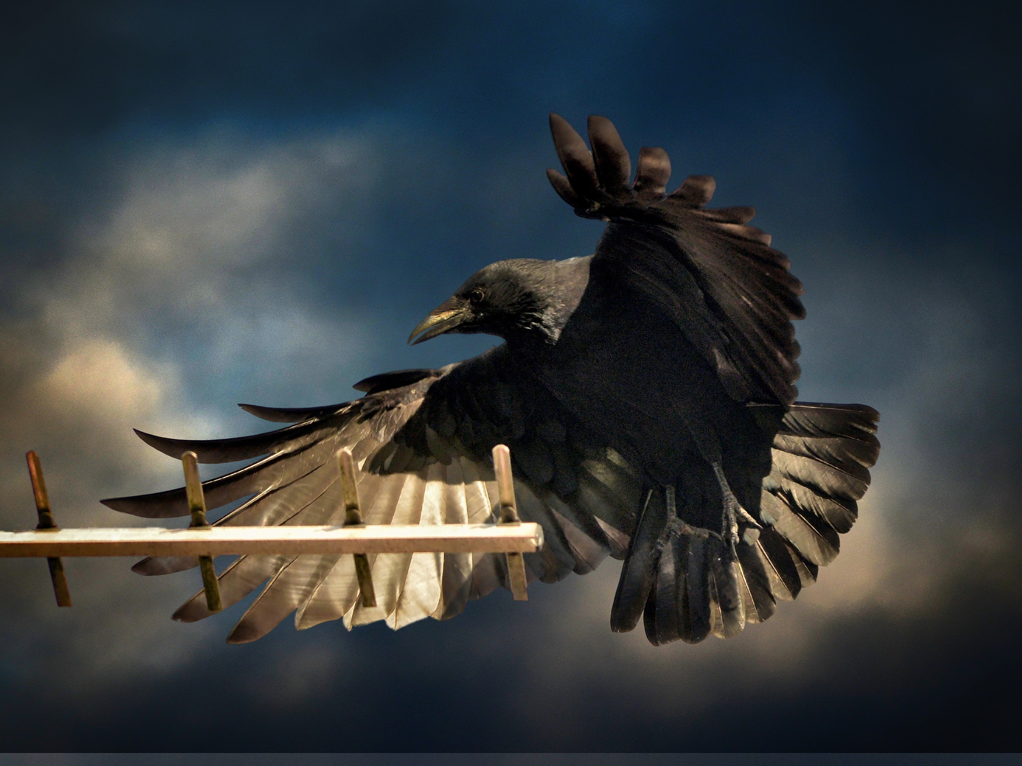 Crow comes into land by scrawcreations  (Stephen)