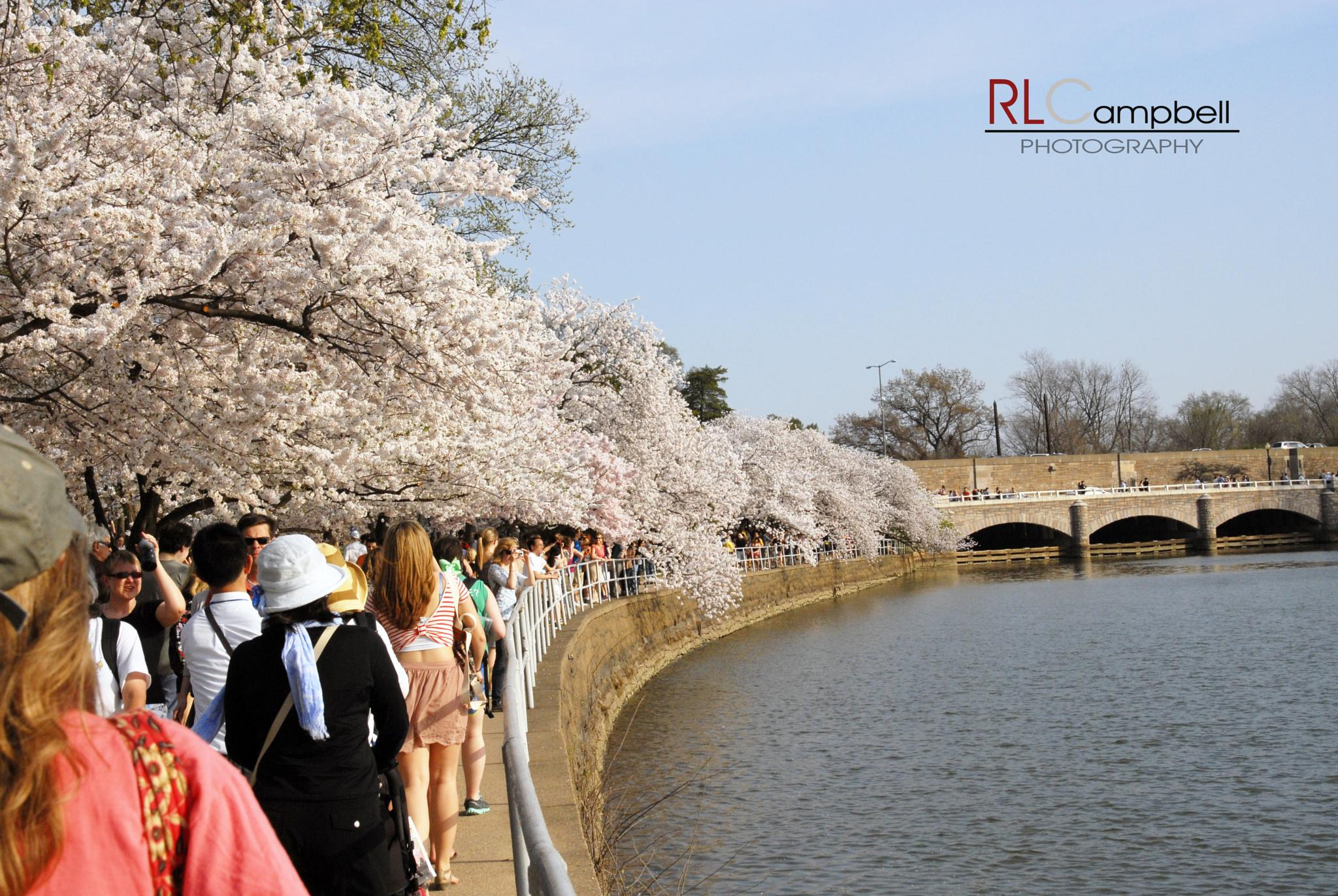 Cherry Blossoms by rlcampbellphotography
