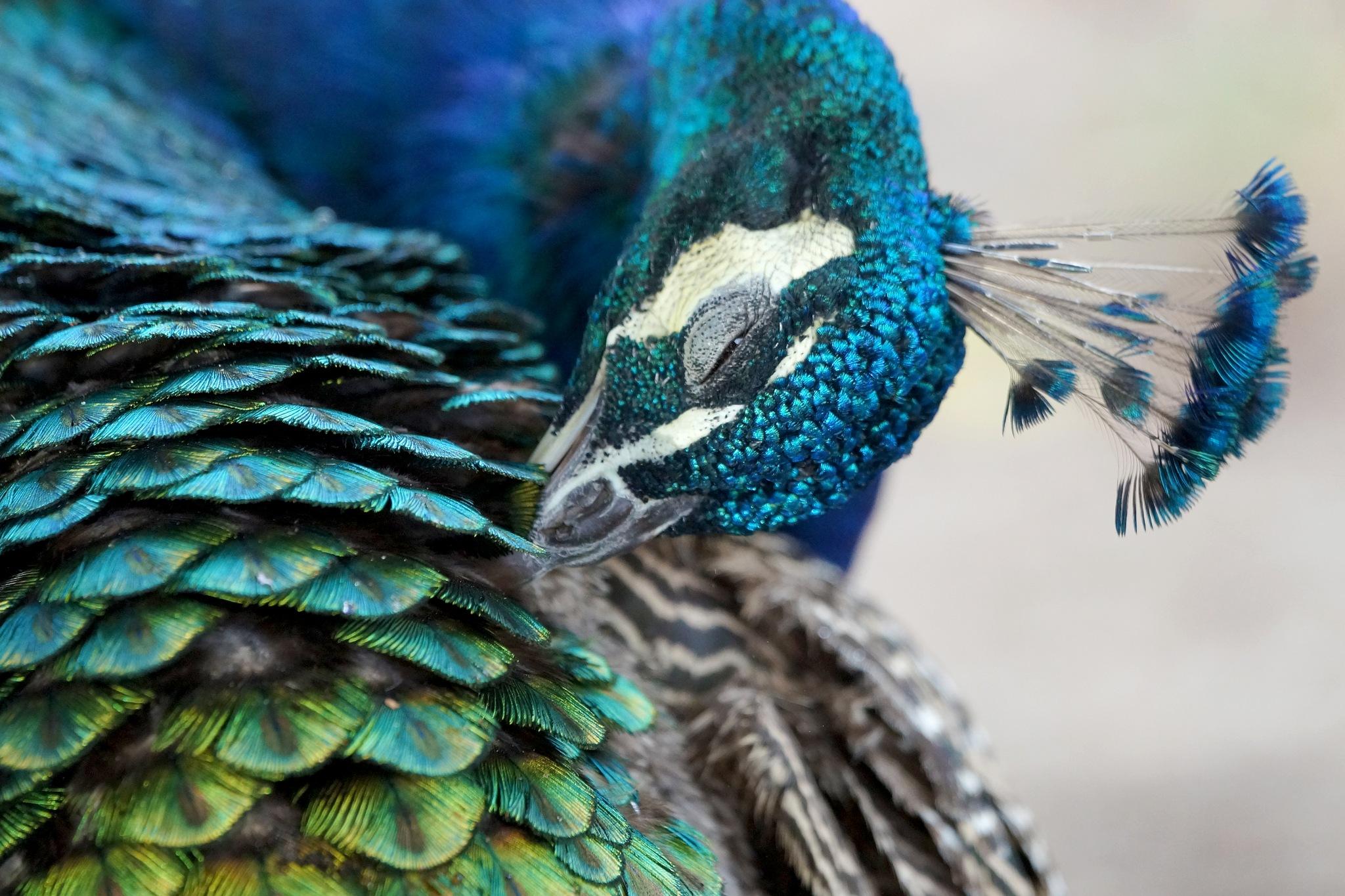 Peacock by PoulErikVistoftNielsen