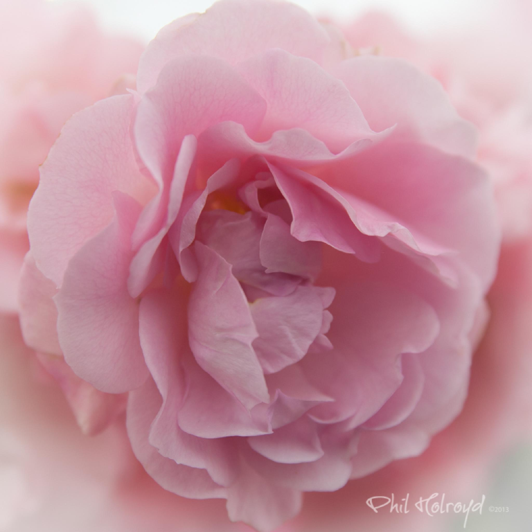 Pink Rose by Phil