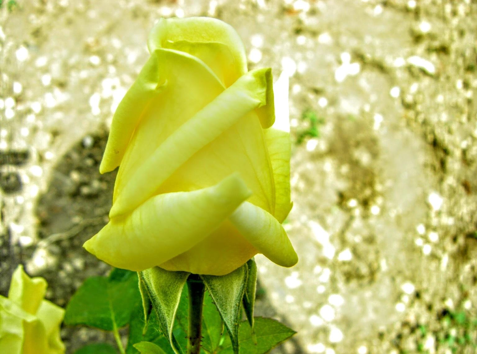 Yellow rose by Gregorio Emper