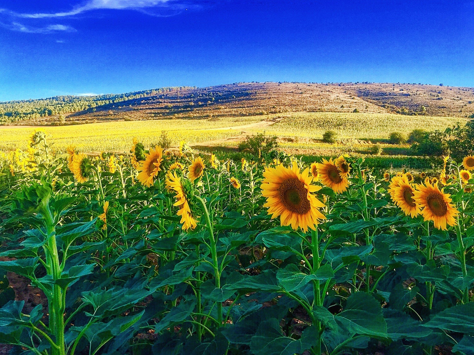 Sunflowers  by Gregorio Emper