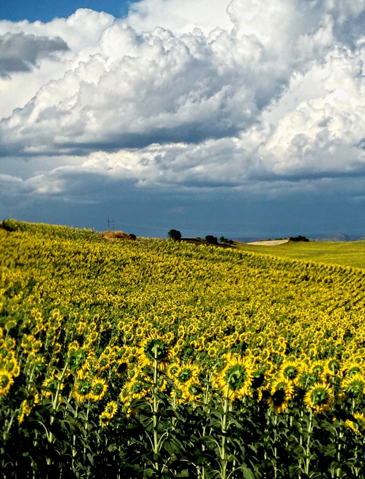 Sunflower fields-2 by Gregorio Emper