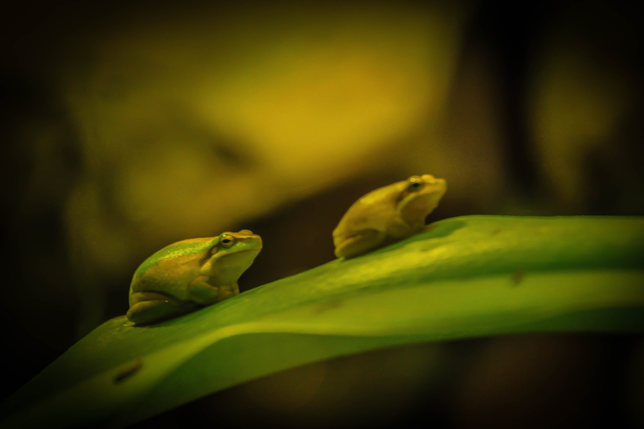 2 frogs  2 tone by julz