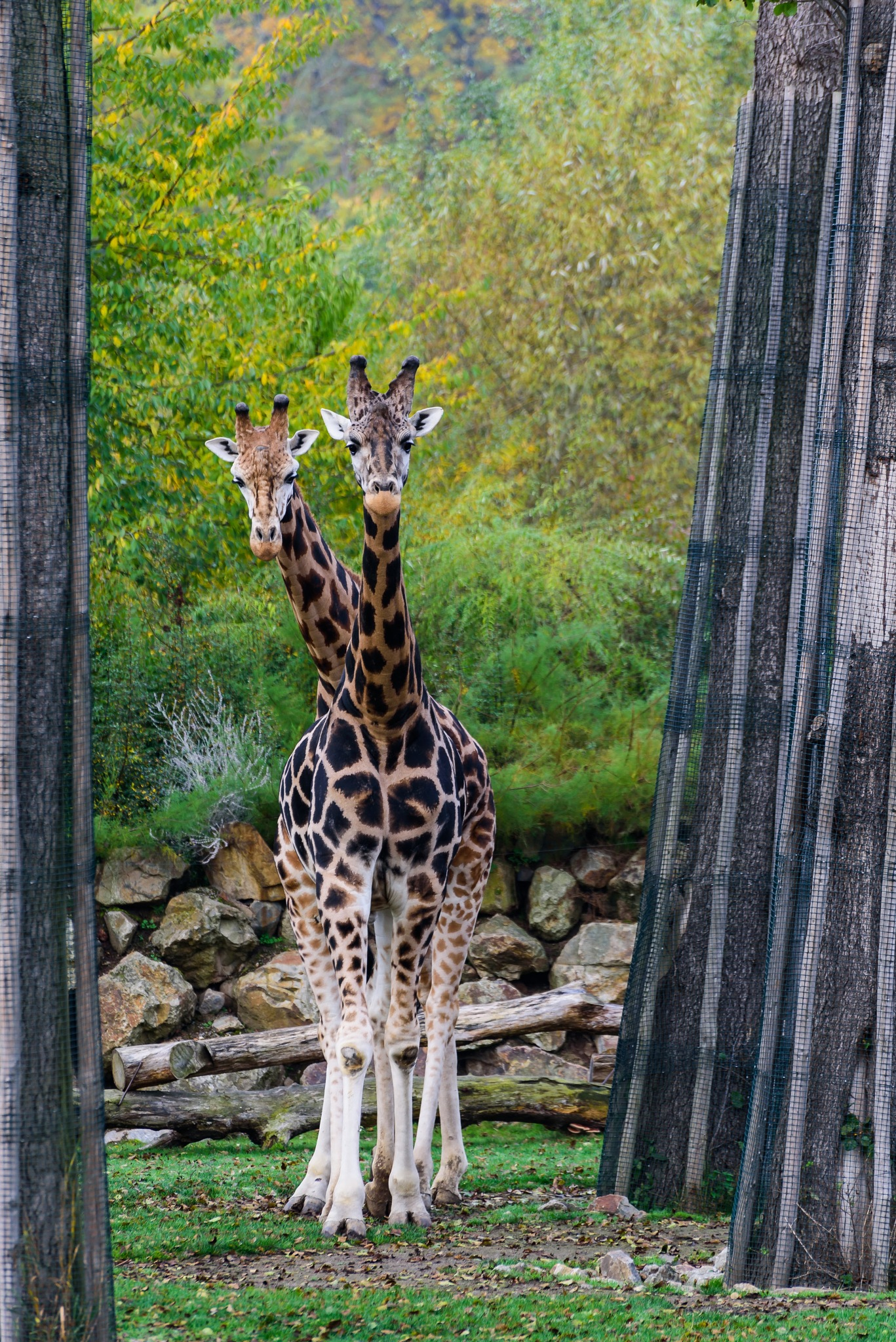 Have you ever seen two-headed Giraffe with eight legs? by Miroslav Ondříšek