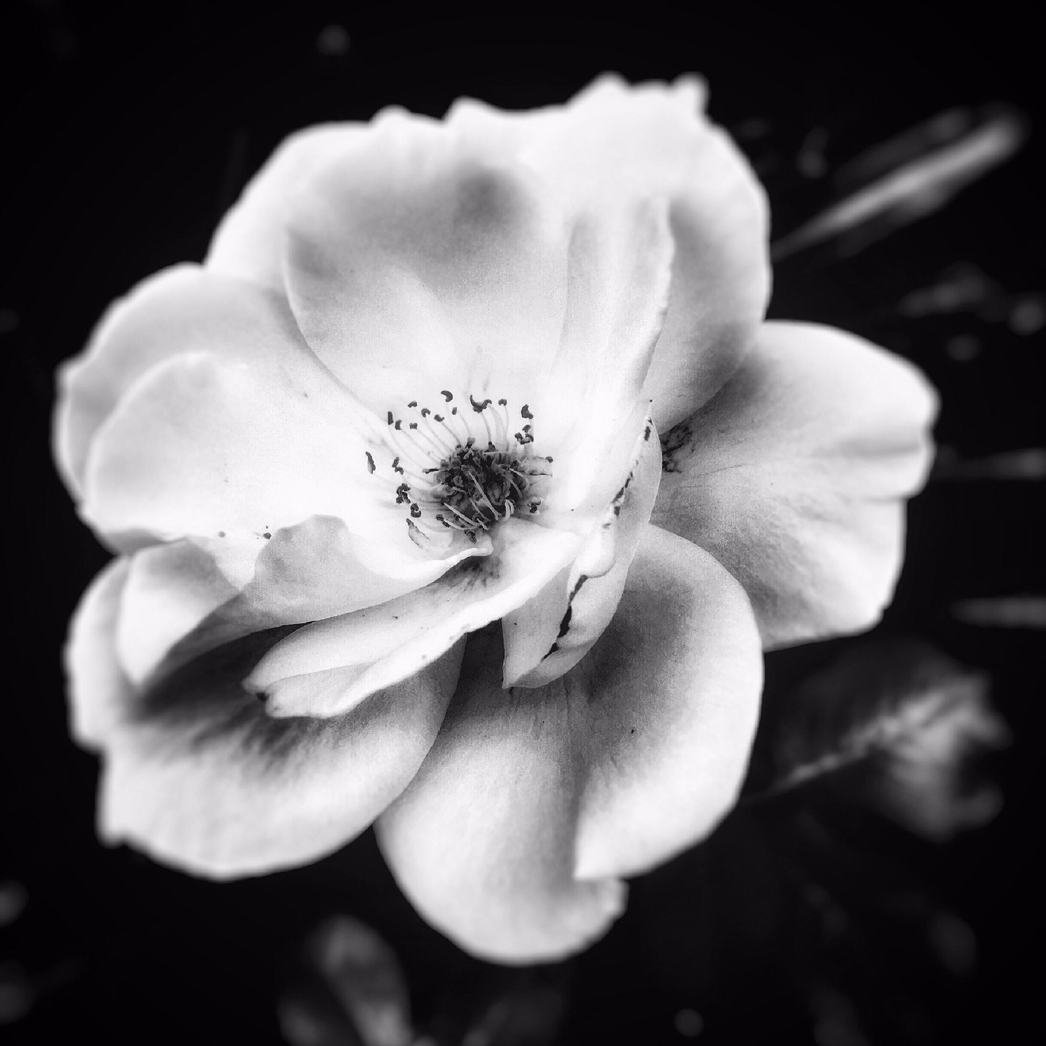 Rose  by Edward Dirks