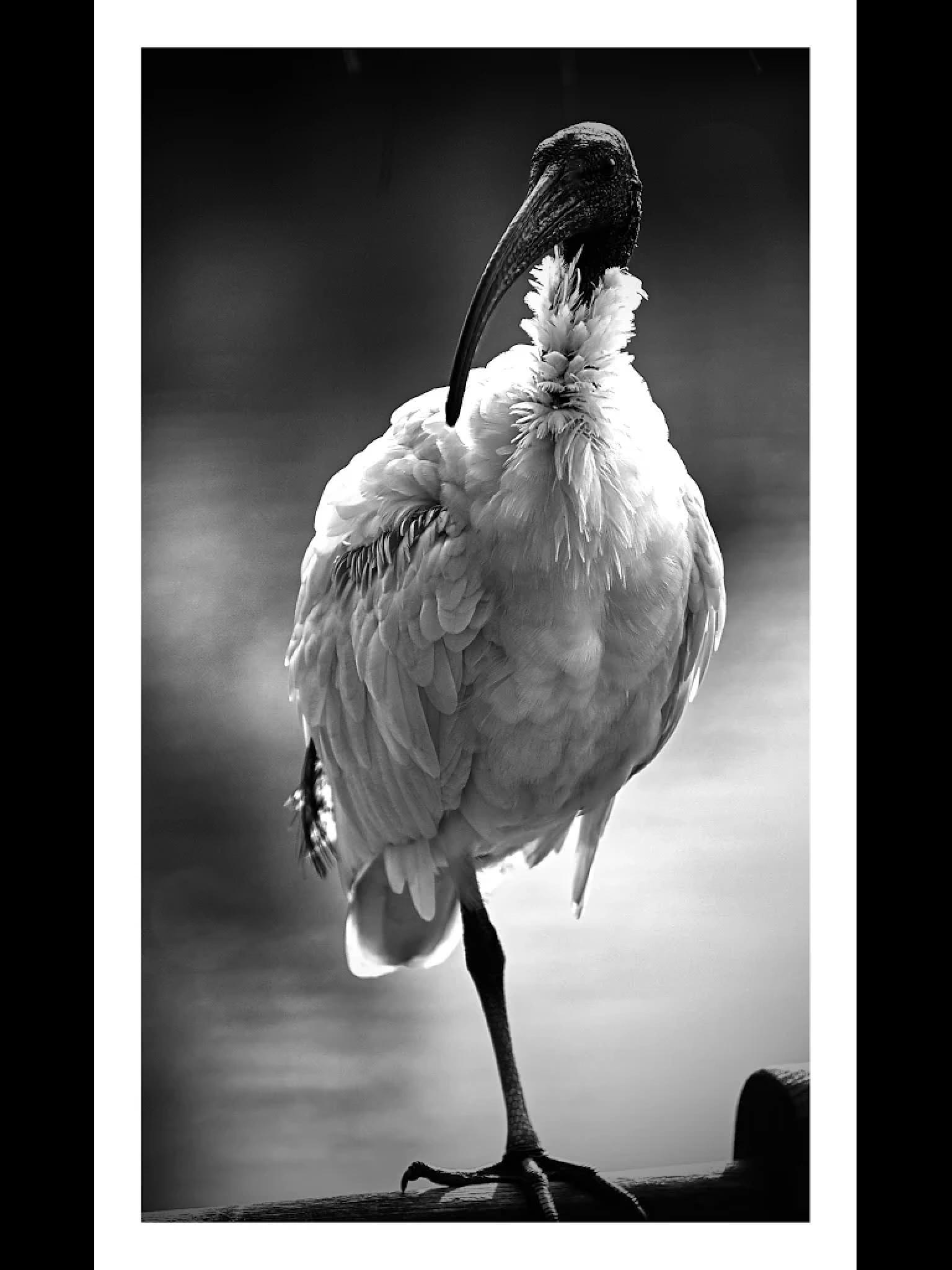 Flying Rat by Edward Dirks