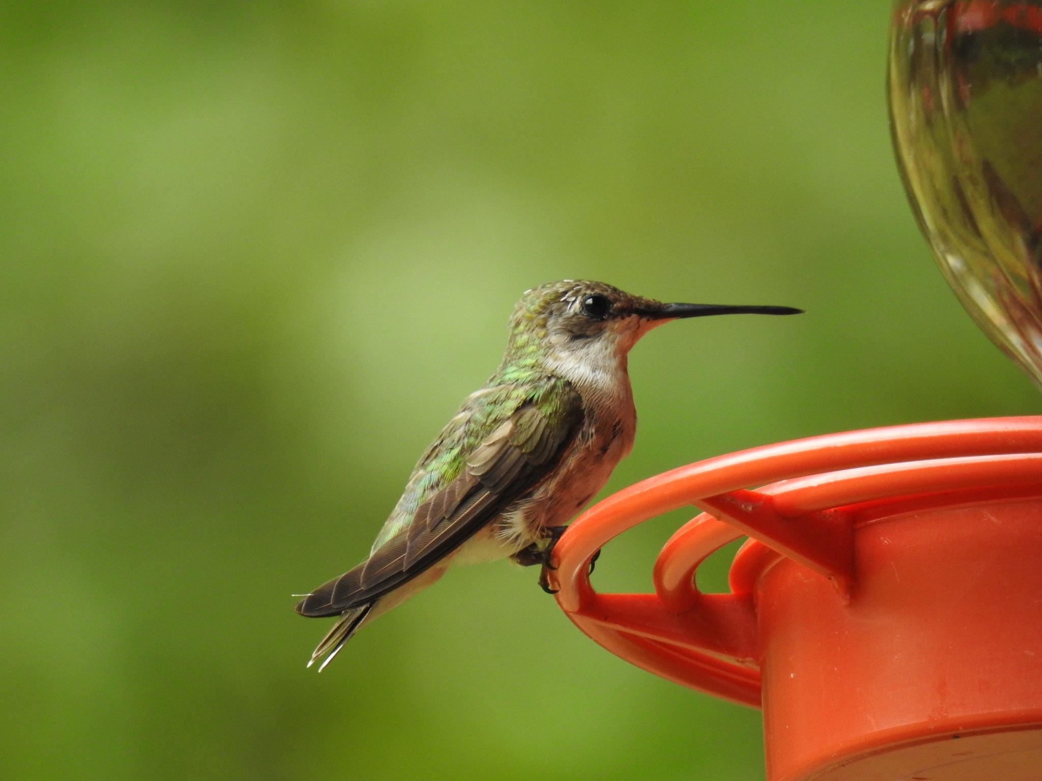 Humming bird by KarenBranch
