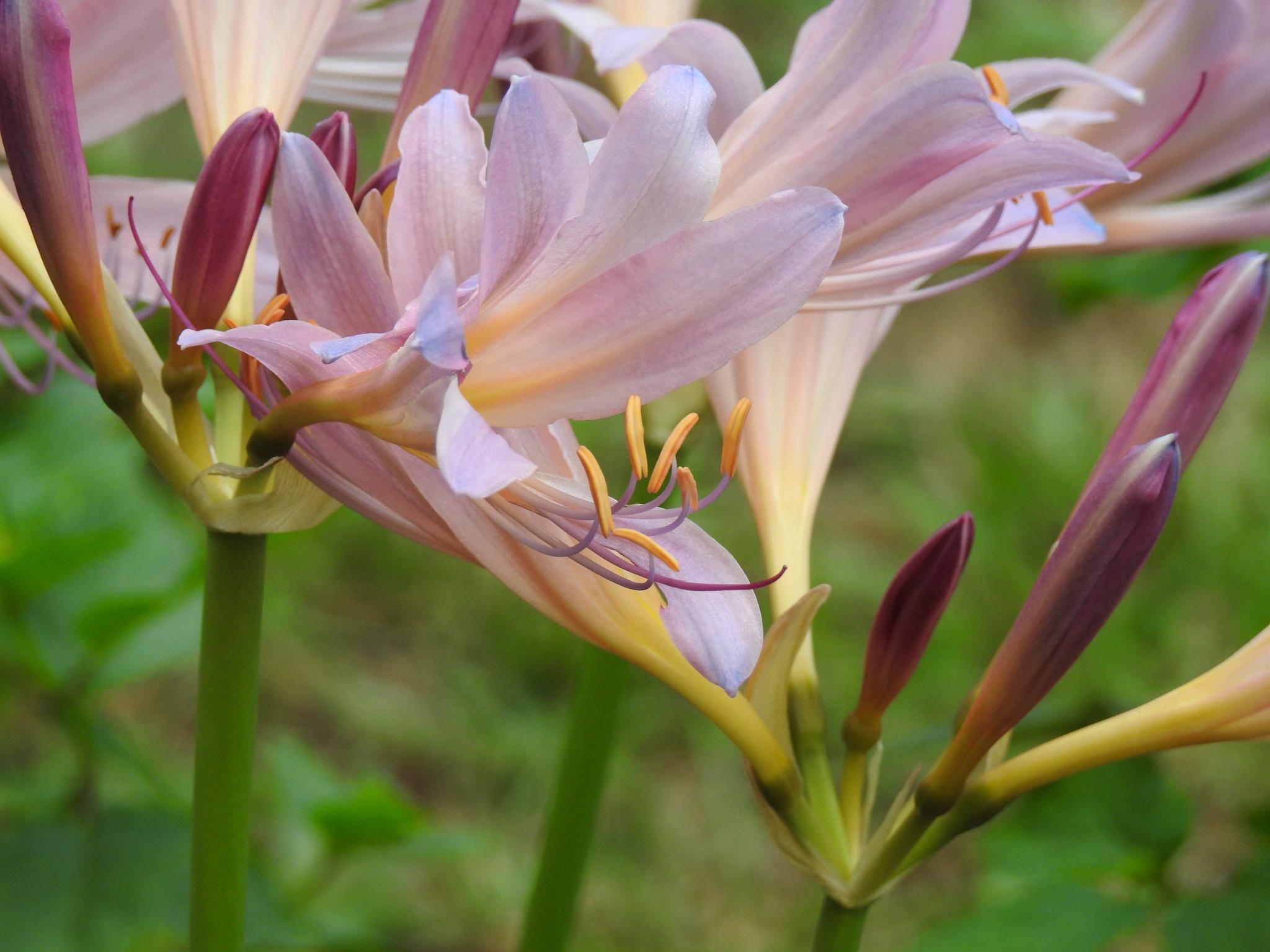 Belladonna Lily by KarenBranch