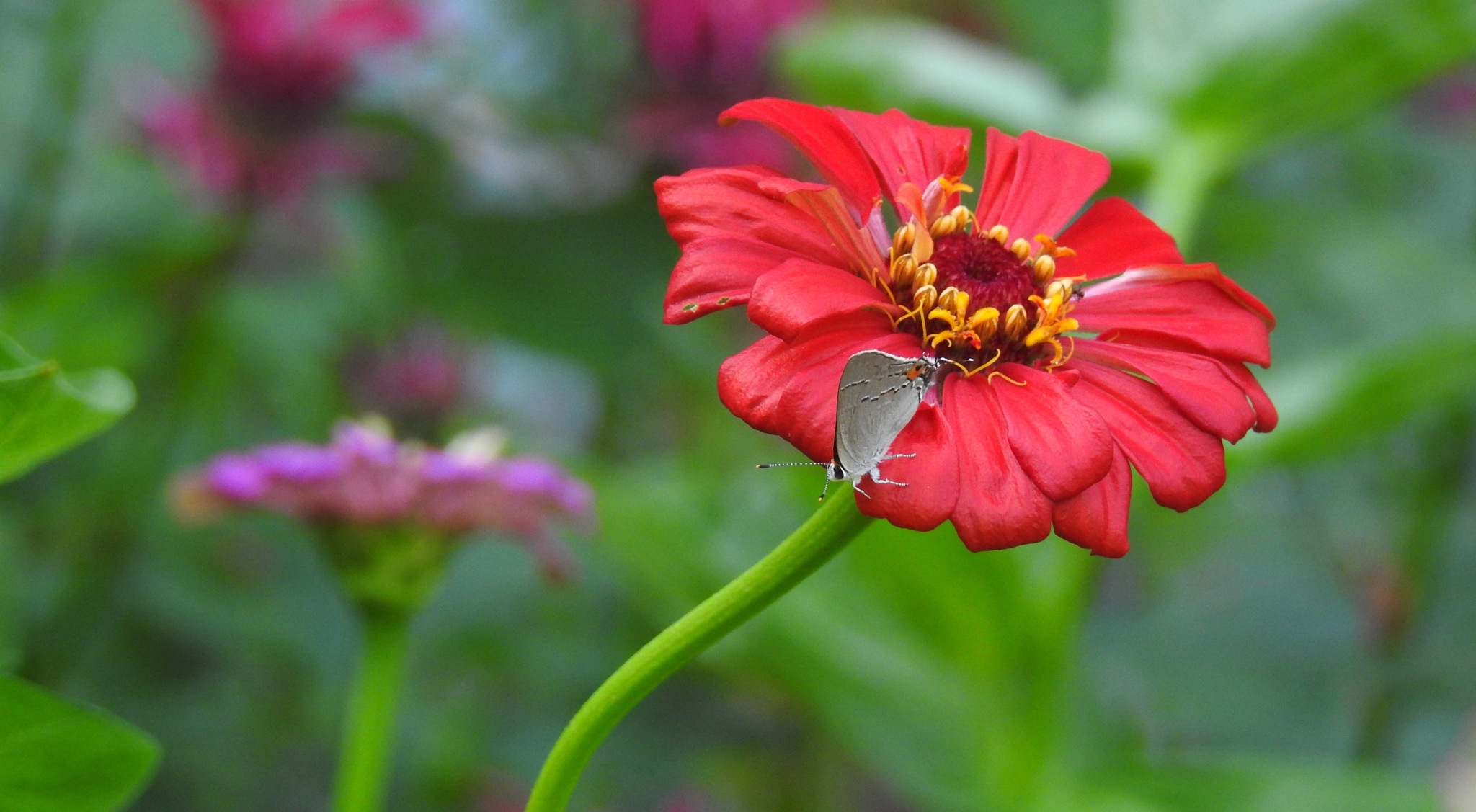 Zinnia with a visitor by KarenBranch