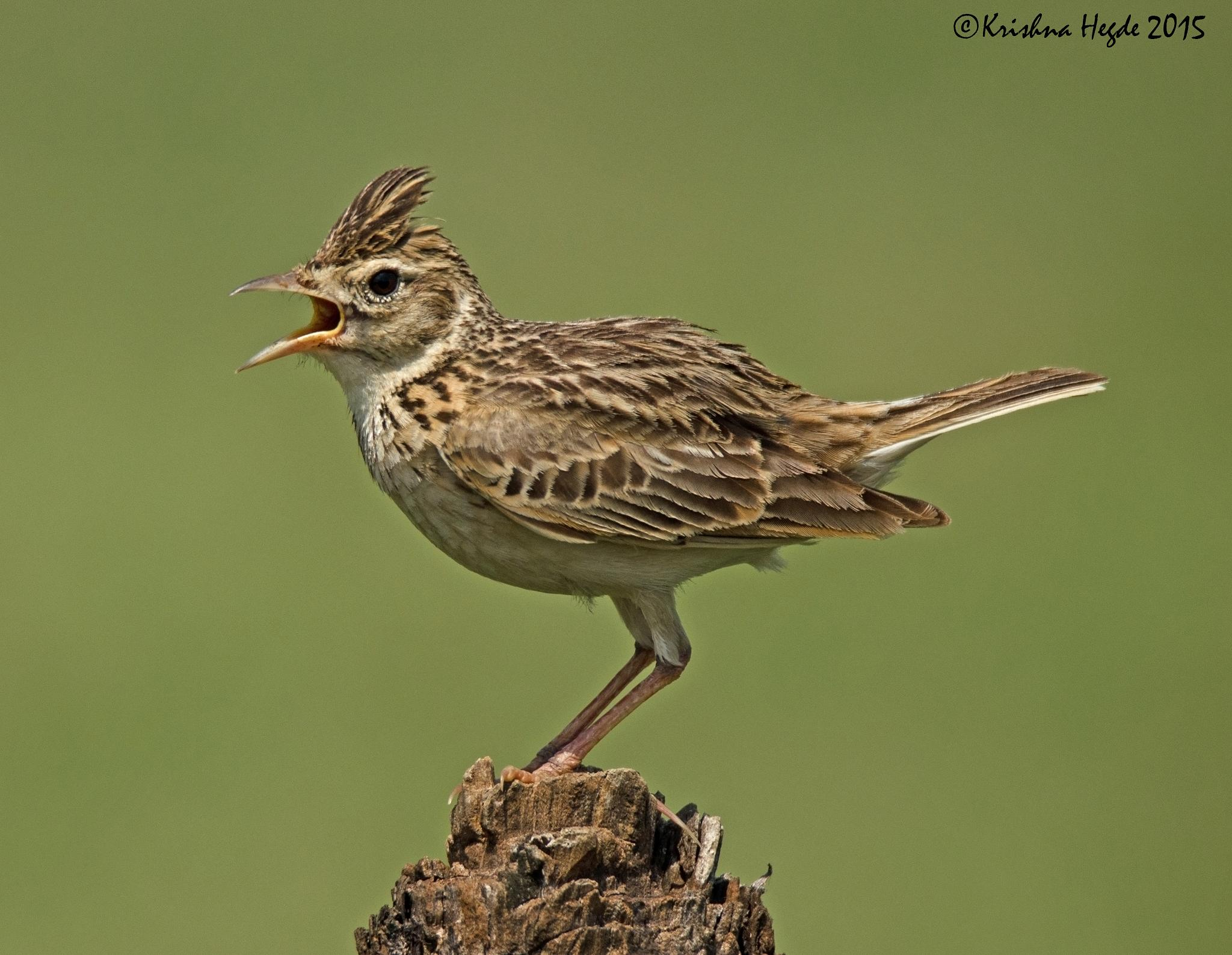 Crested Lark by hegdek