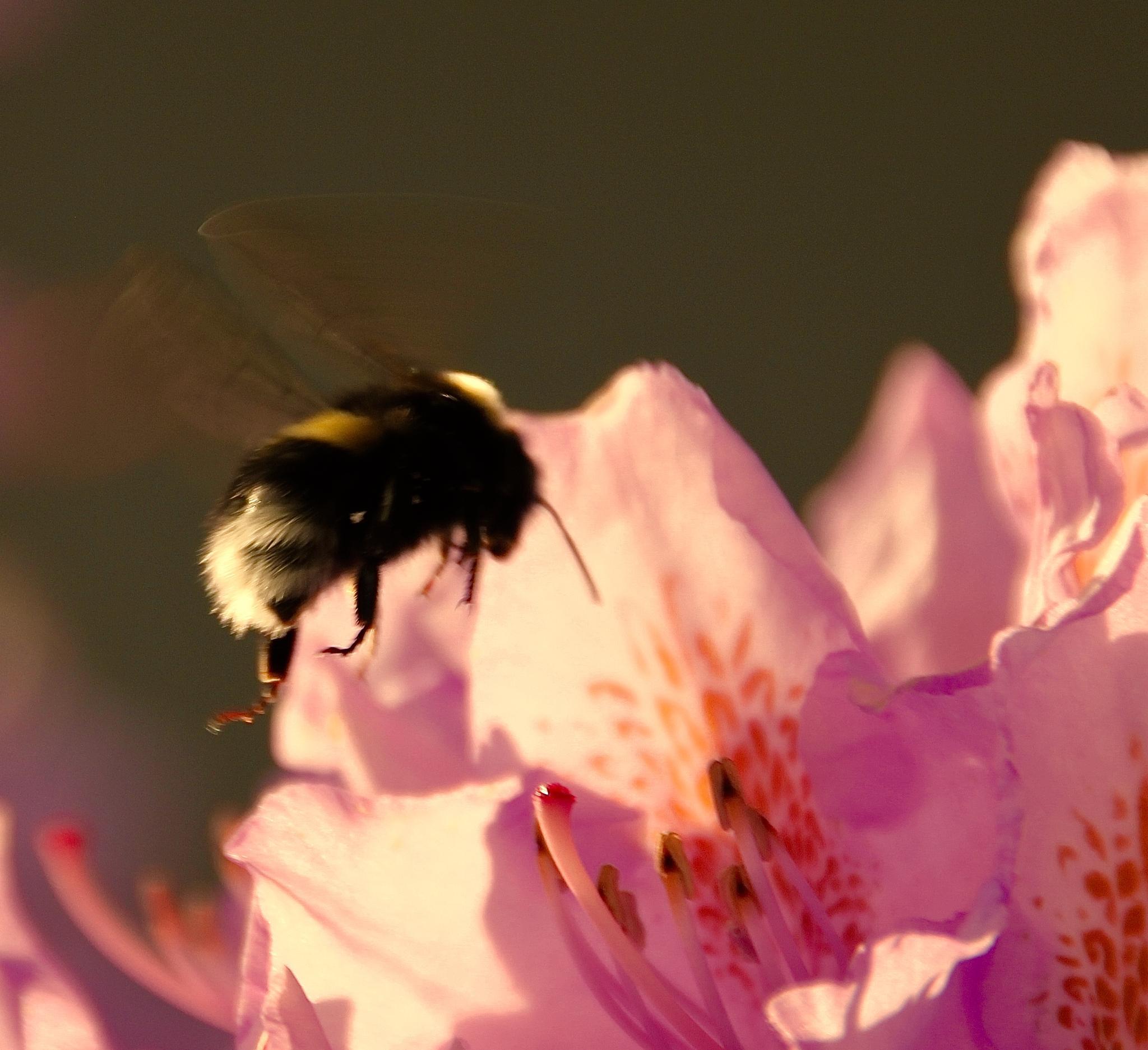 Bumblebiee vs Rododendro by Cecilie Hansteensen