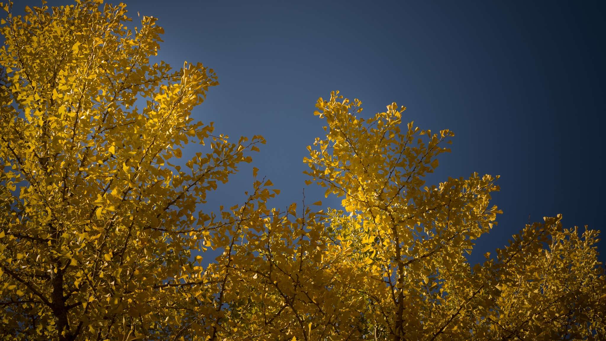 Autumn leaves of yellow by muteking