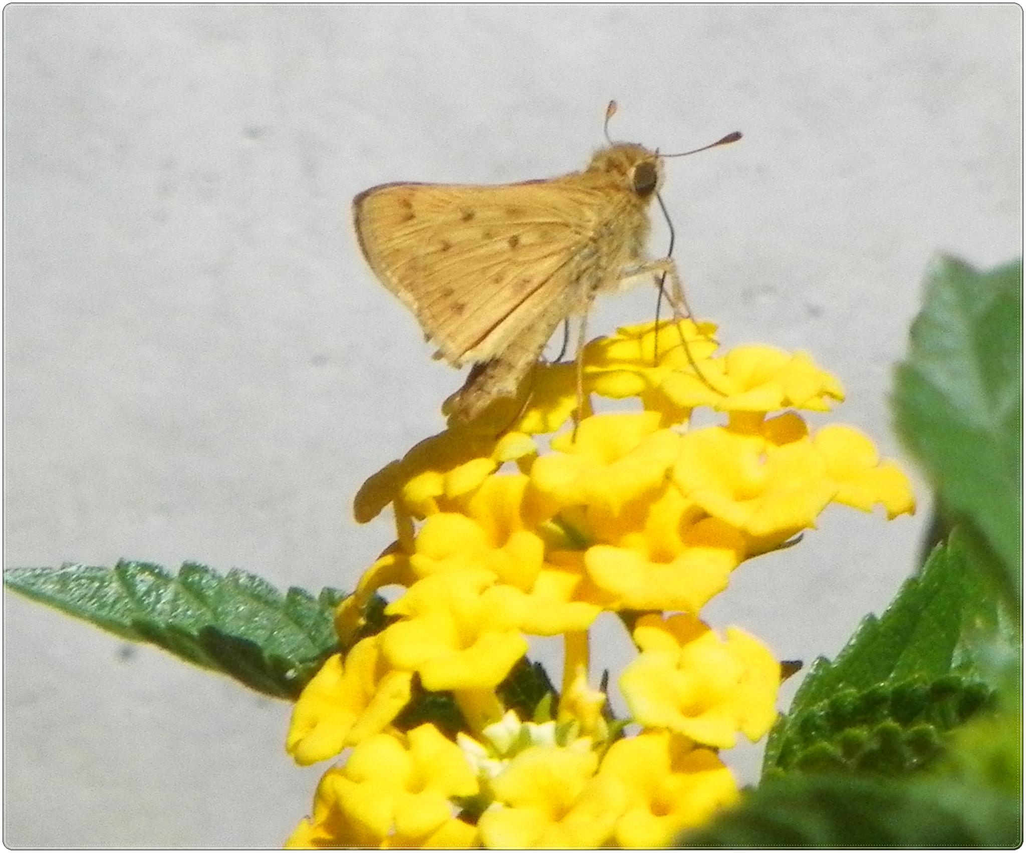 Photo in Animal #butterfly #flower #lantana #nature #animal