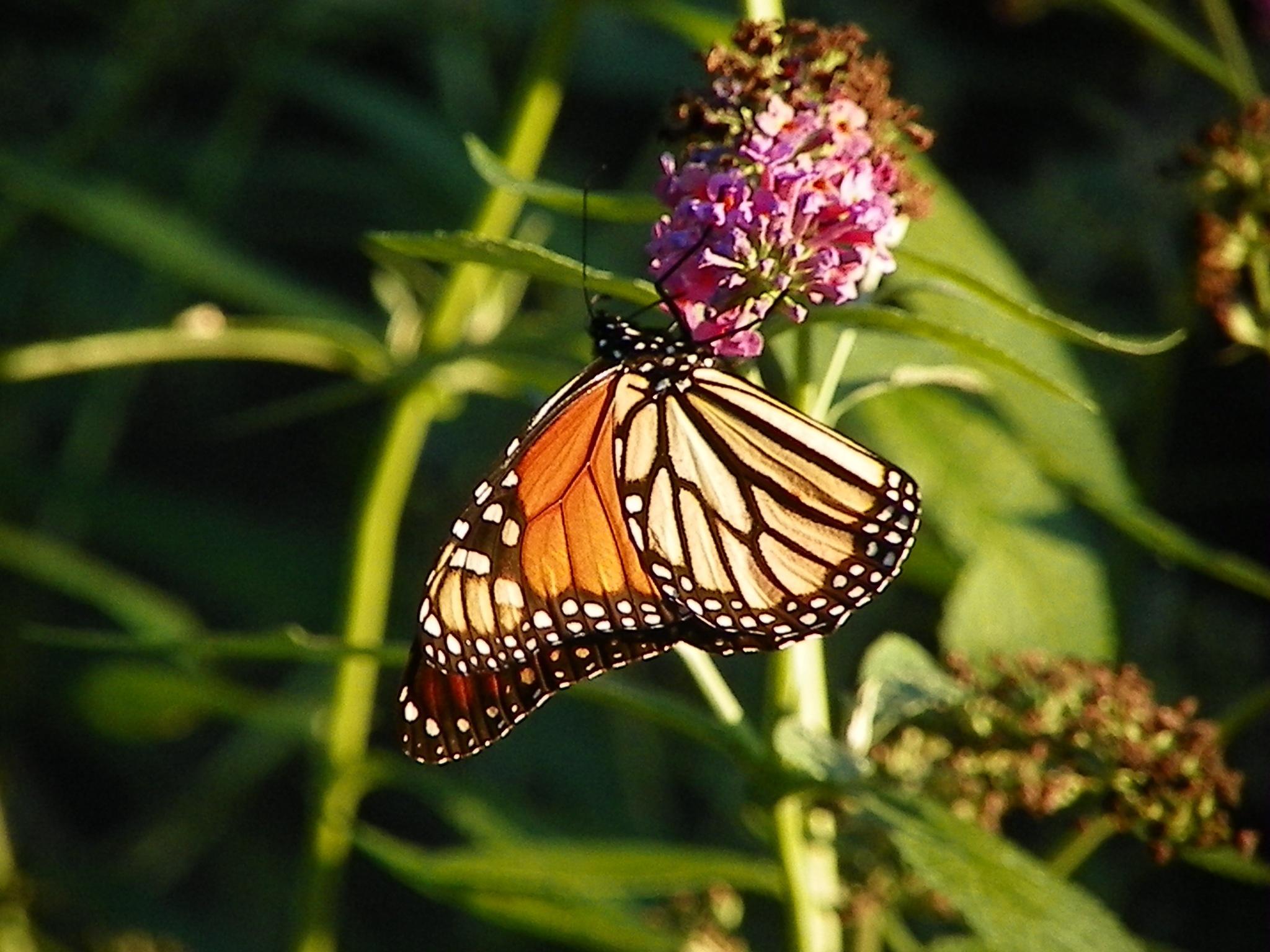 The beauty of a Butterfly by ssmjdd