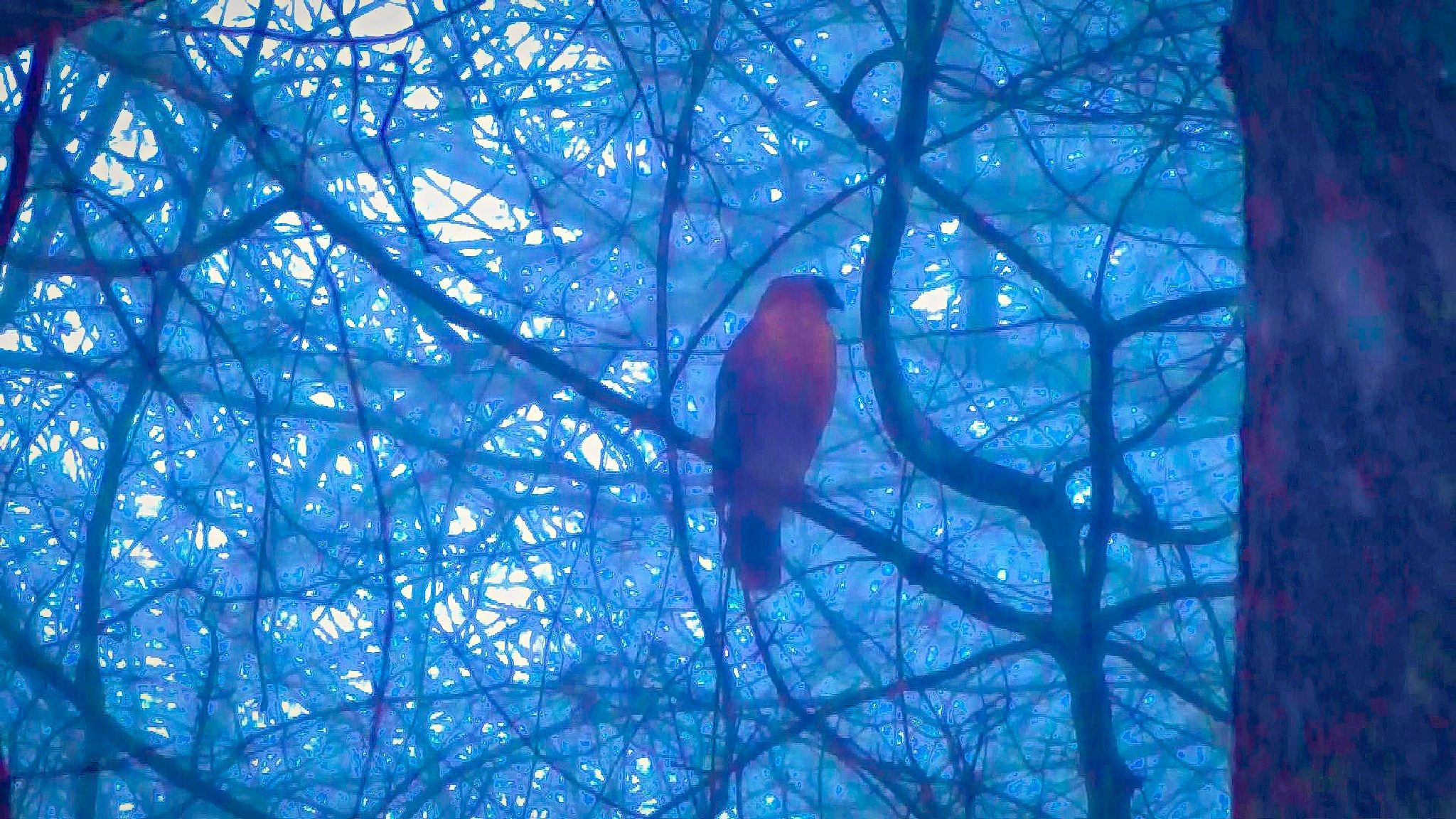 Hawk in the Snow 1 by abomani