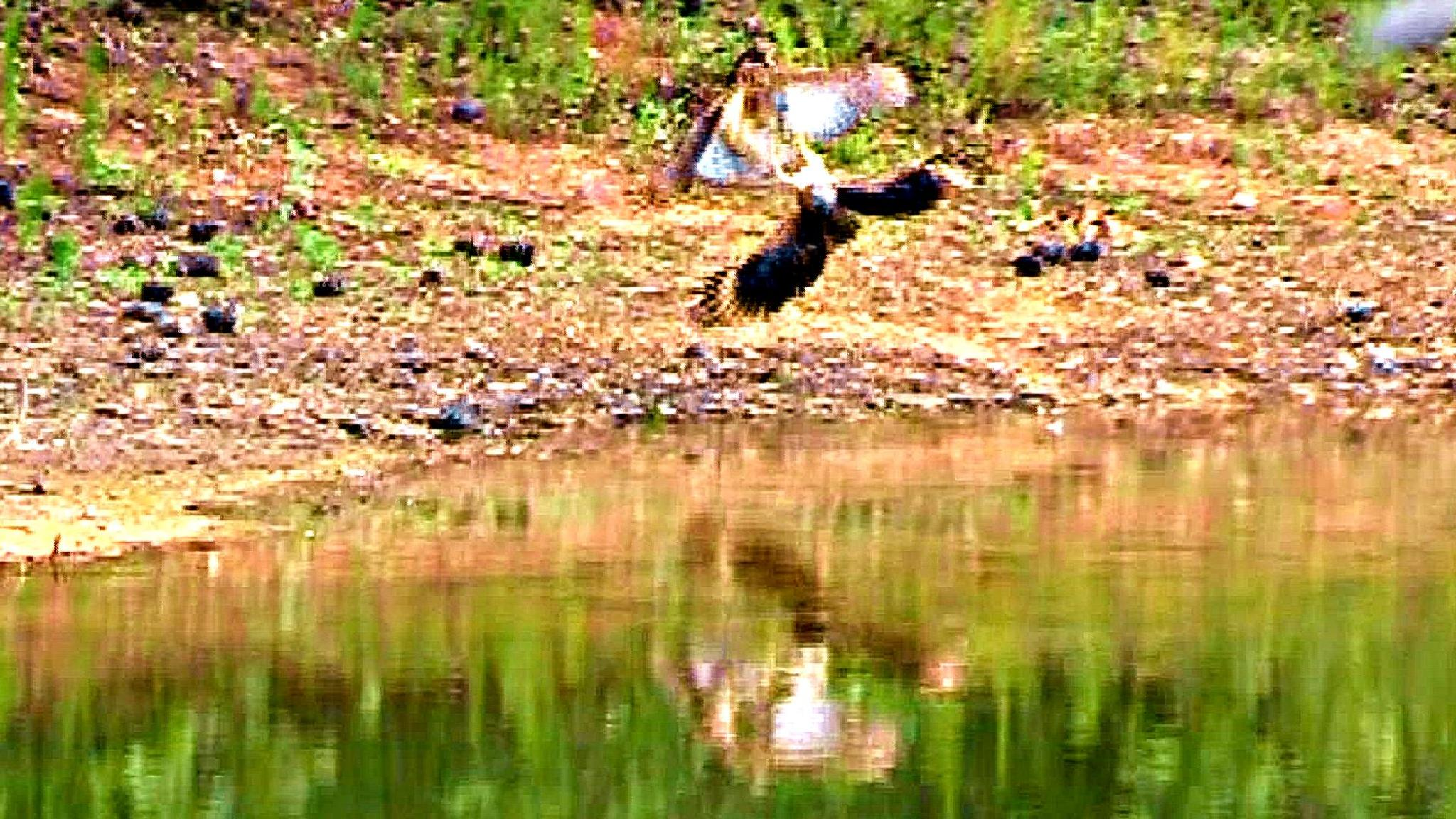 Big HAWKS fighting, hunting and bathing by abomani