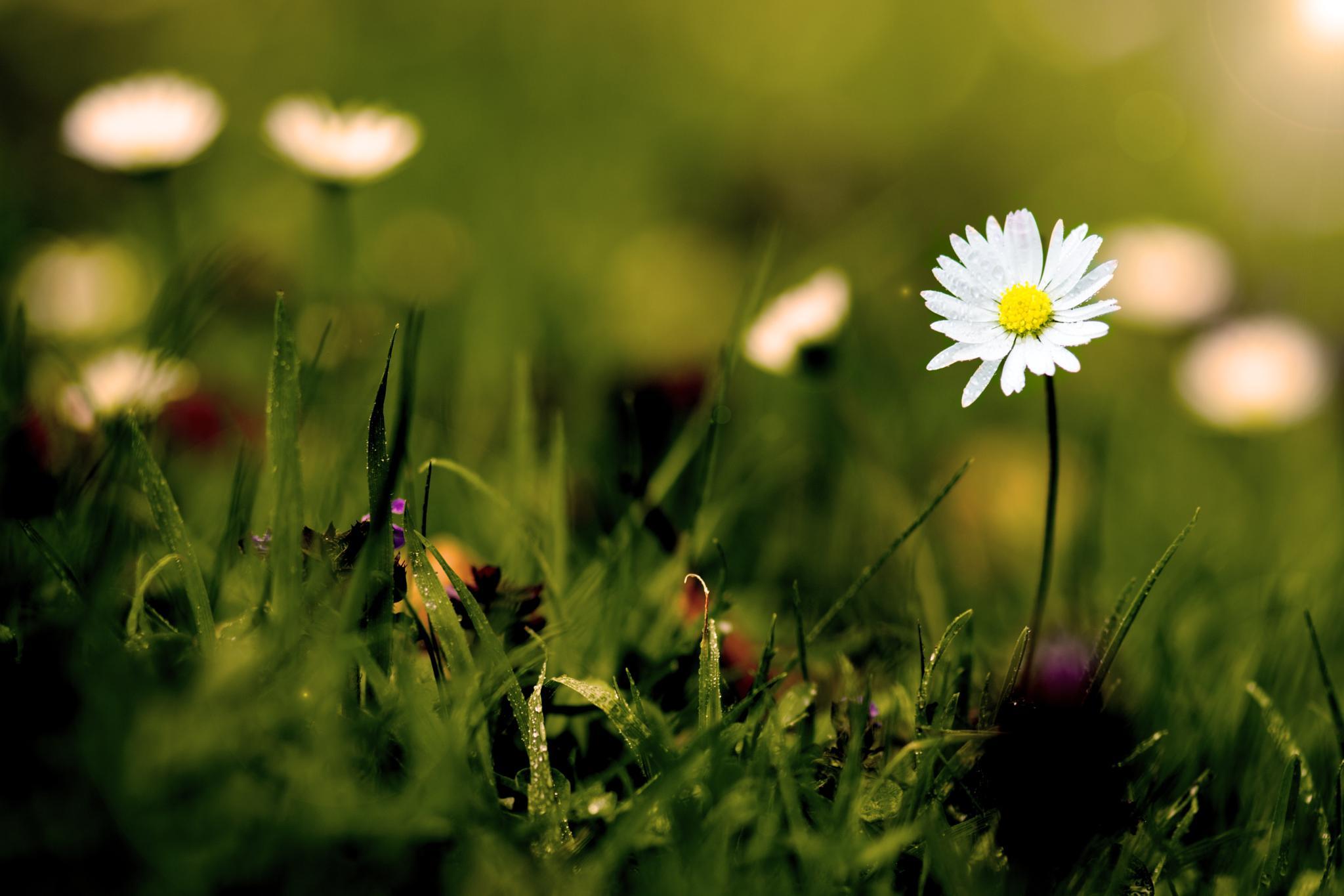 Photo in Macro #macro #daisy #flower #light #bokeh #flowers #grass #green #closeup #beauty #beautiful