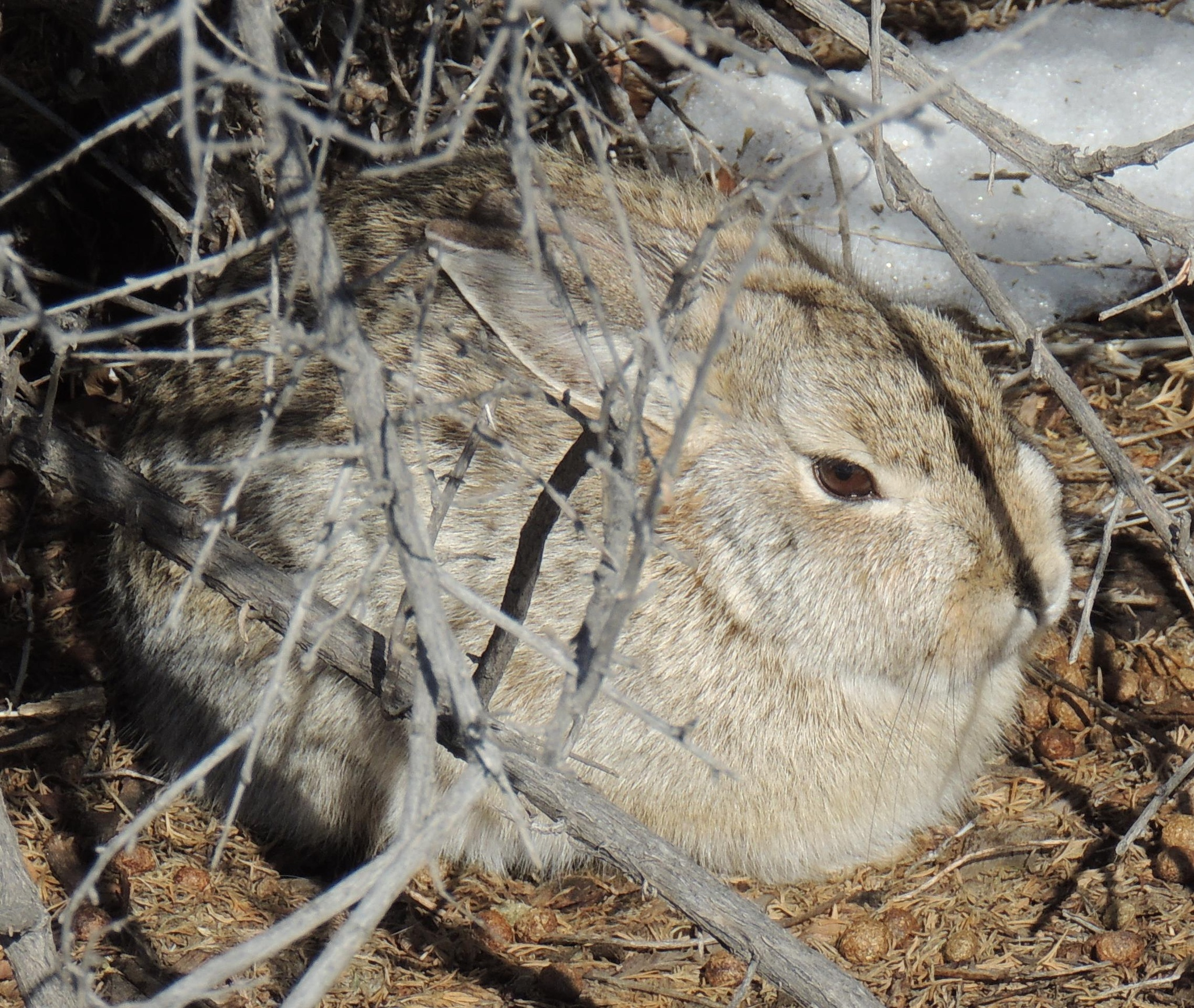 Wyoming rabbit by sh2020