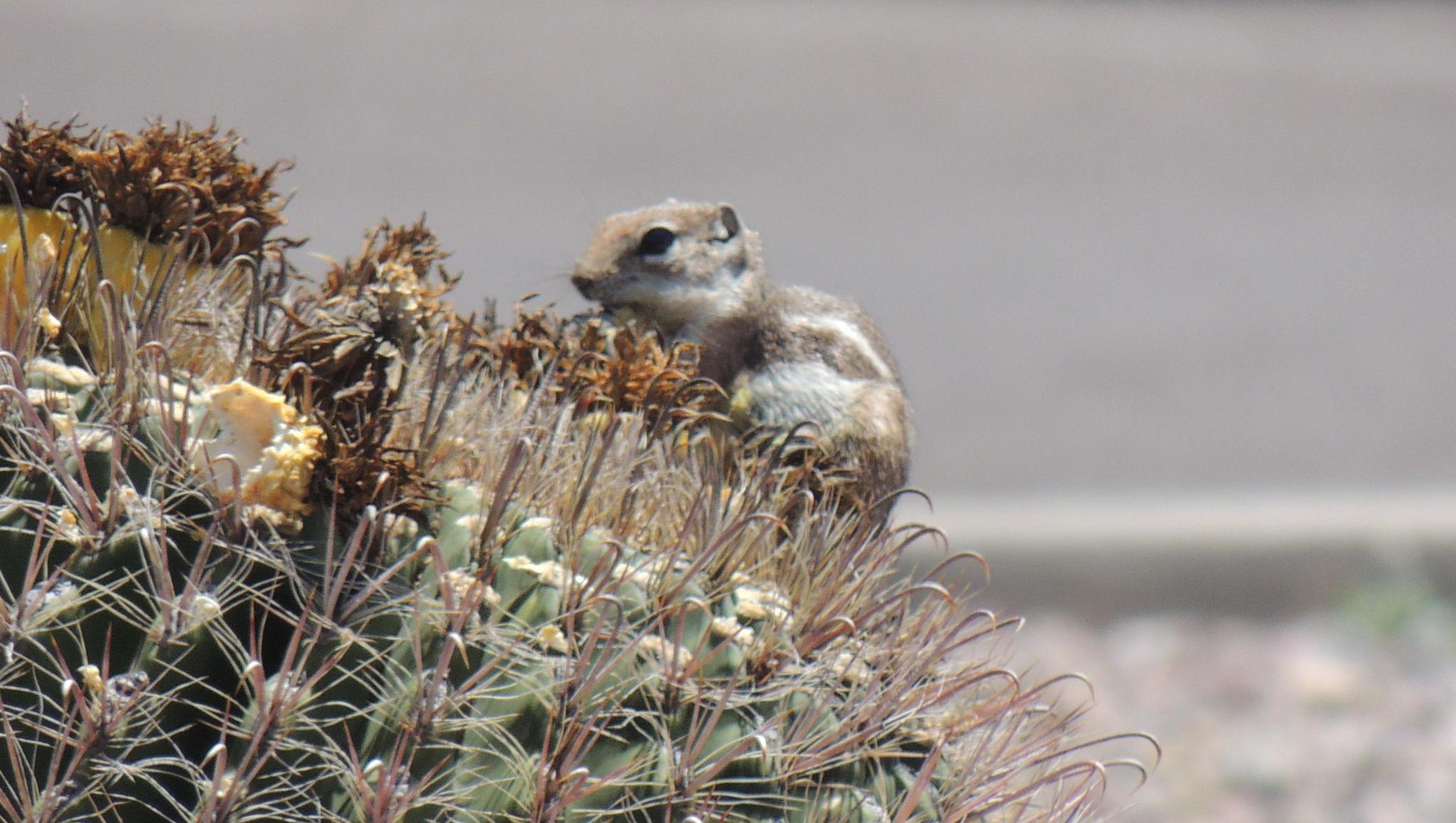 Ground squirrel by sh2020