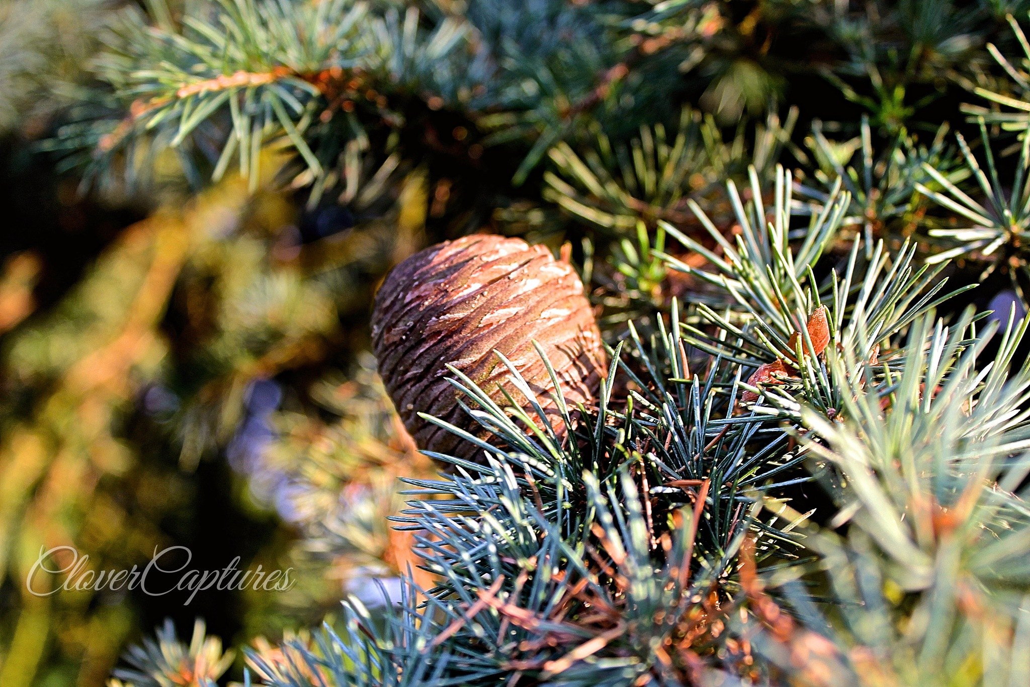 Pine Cone by Yvonne Clover-Lambert