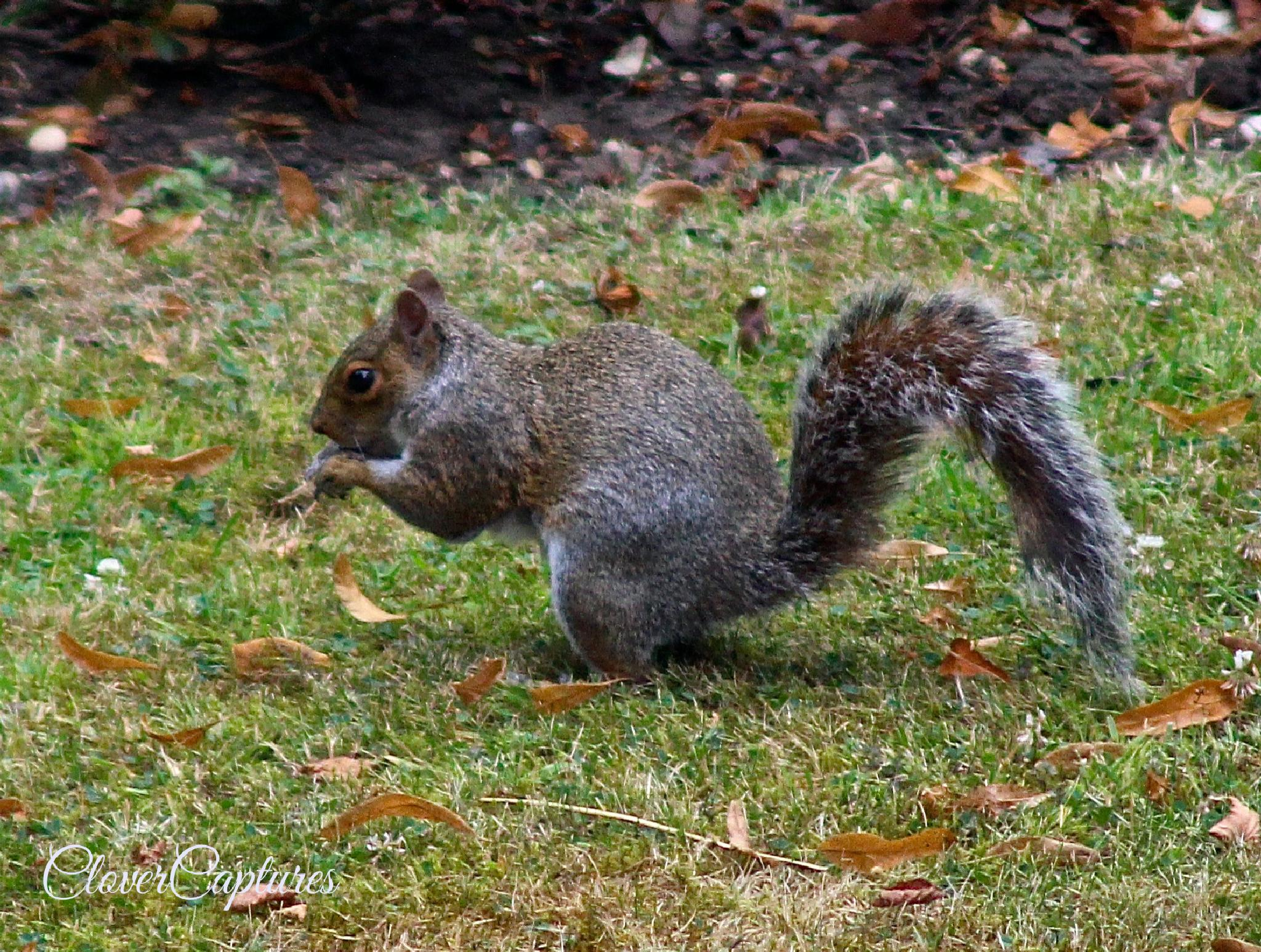 Grey Squirrel by Yvonne Clover-Lambert