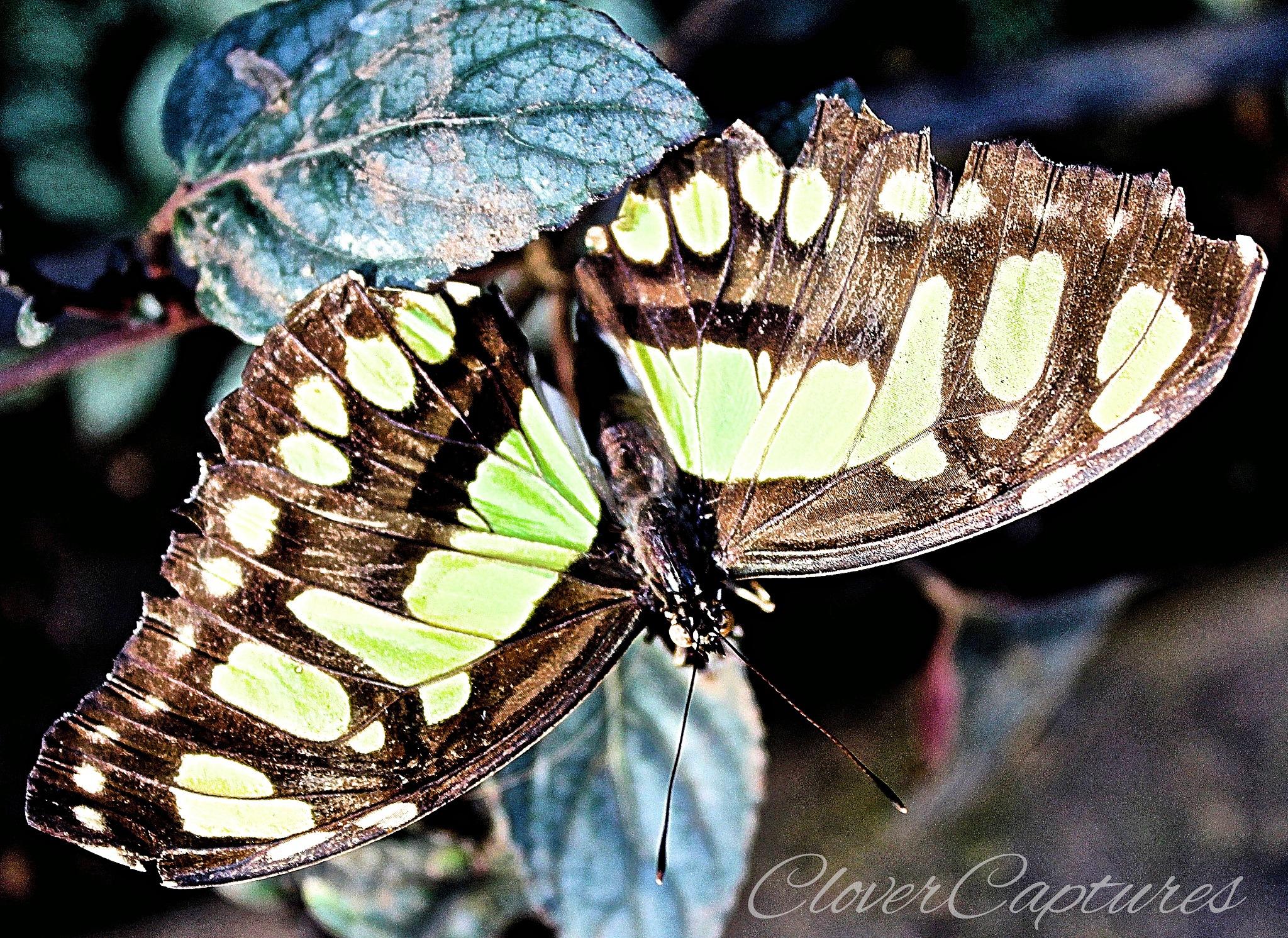 Butterfly (brown/green) by Yvonne Clover-Lambert